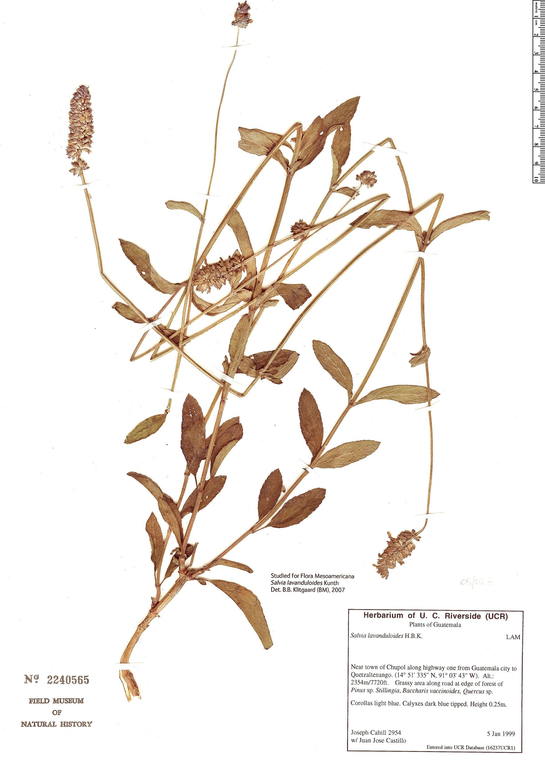 Specimen: Salvia lavanduloides