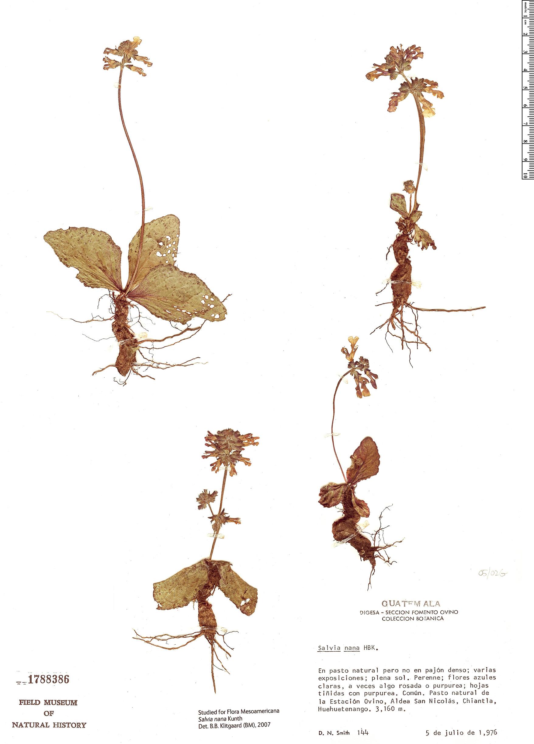 Specimen: Salvia nana