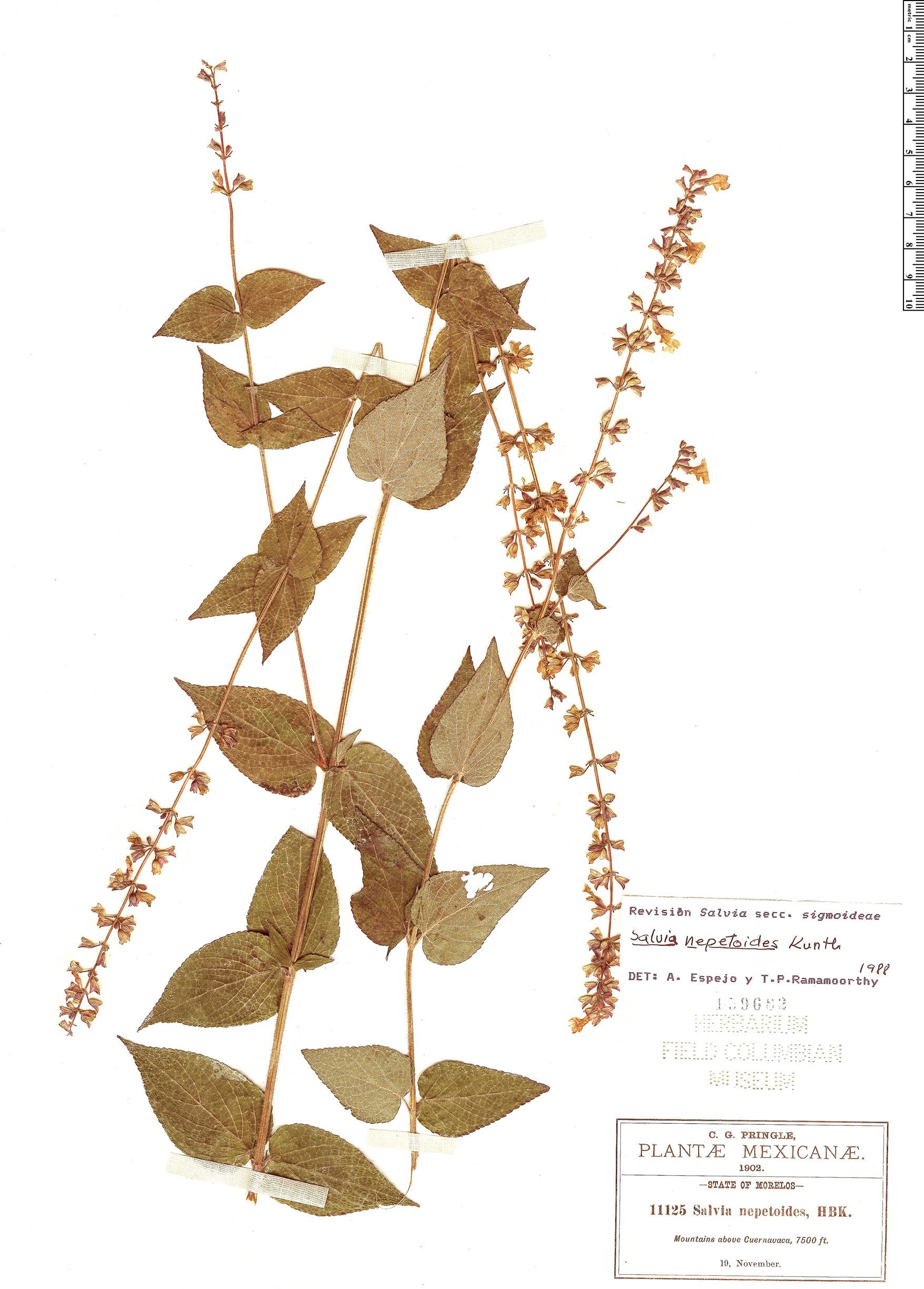 Specimen: Salvia nepetoides