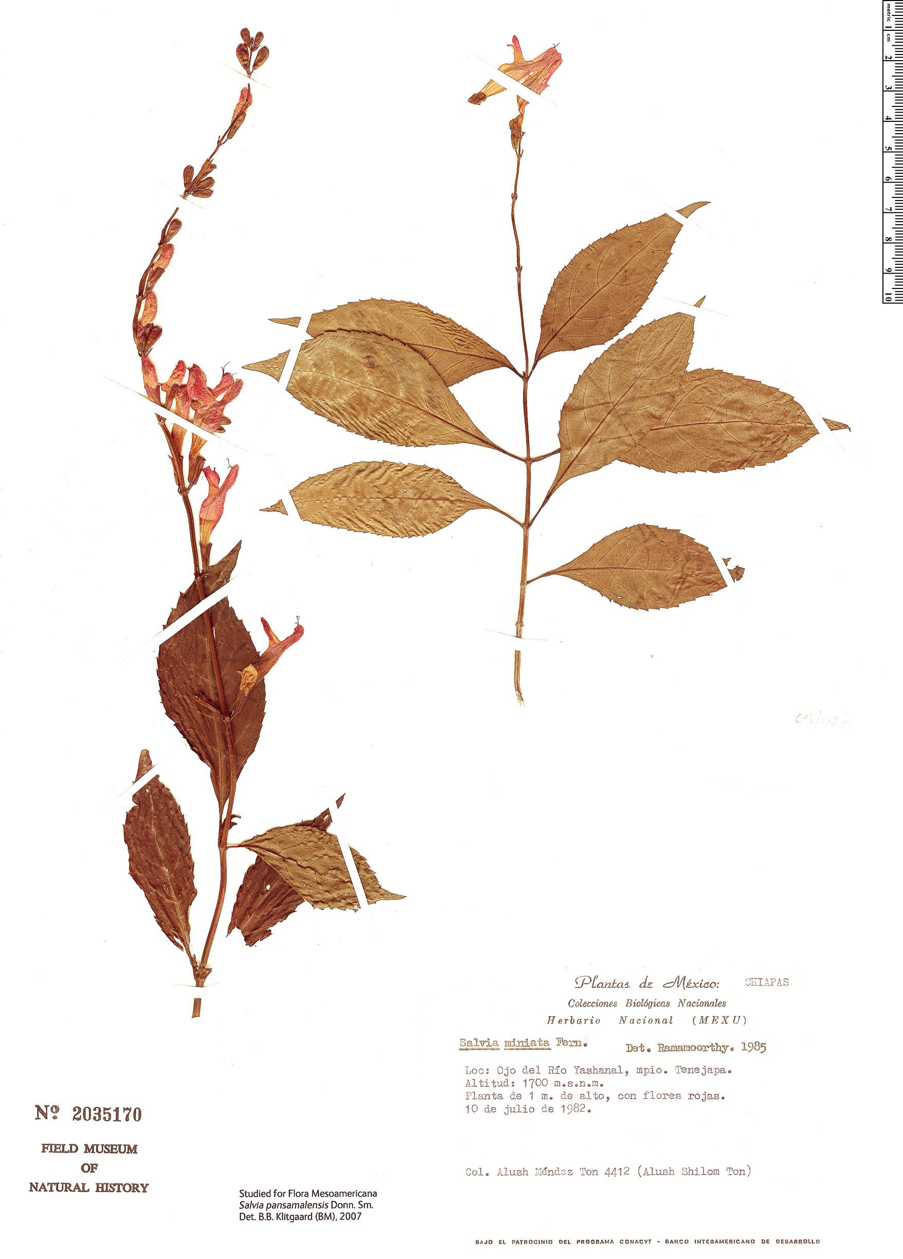 Specimen: Salvia pansamalensis