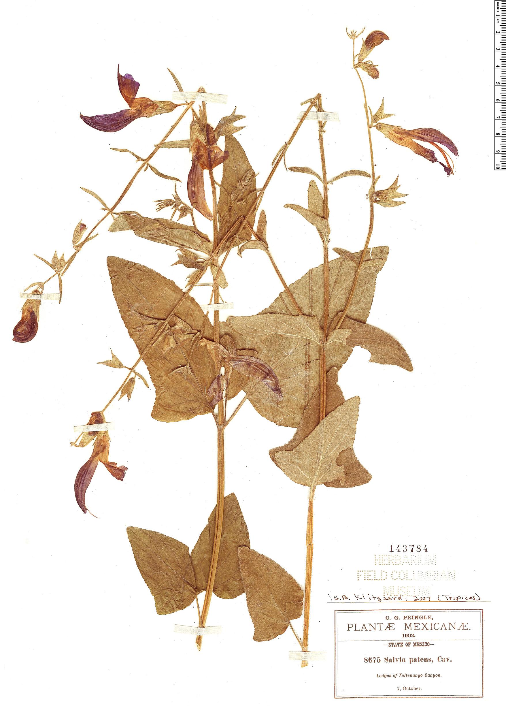 Specimen: Salvia patens