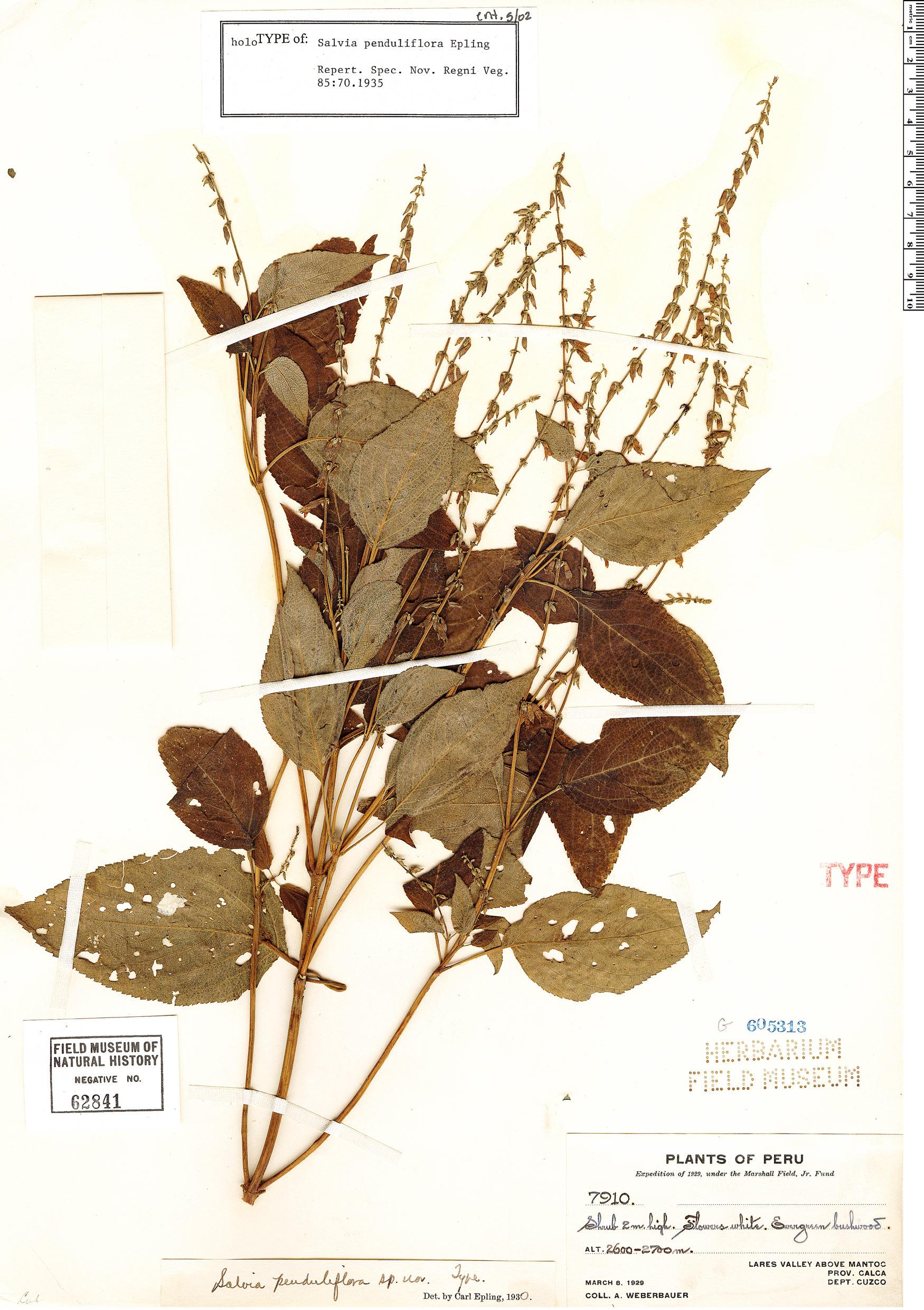 Specimen: Salvia penduliflora