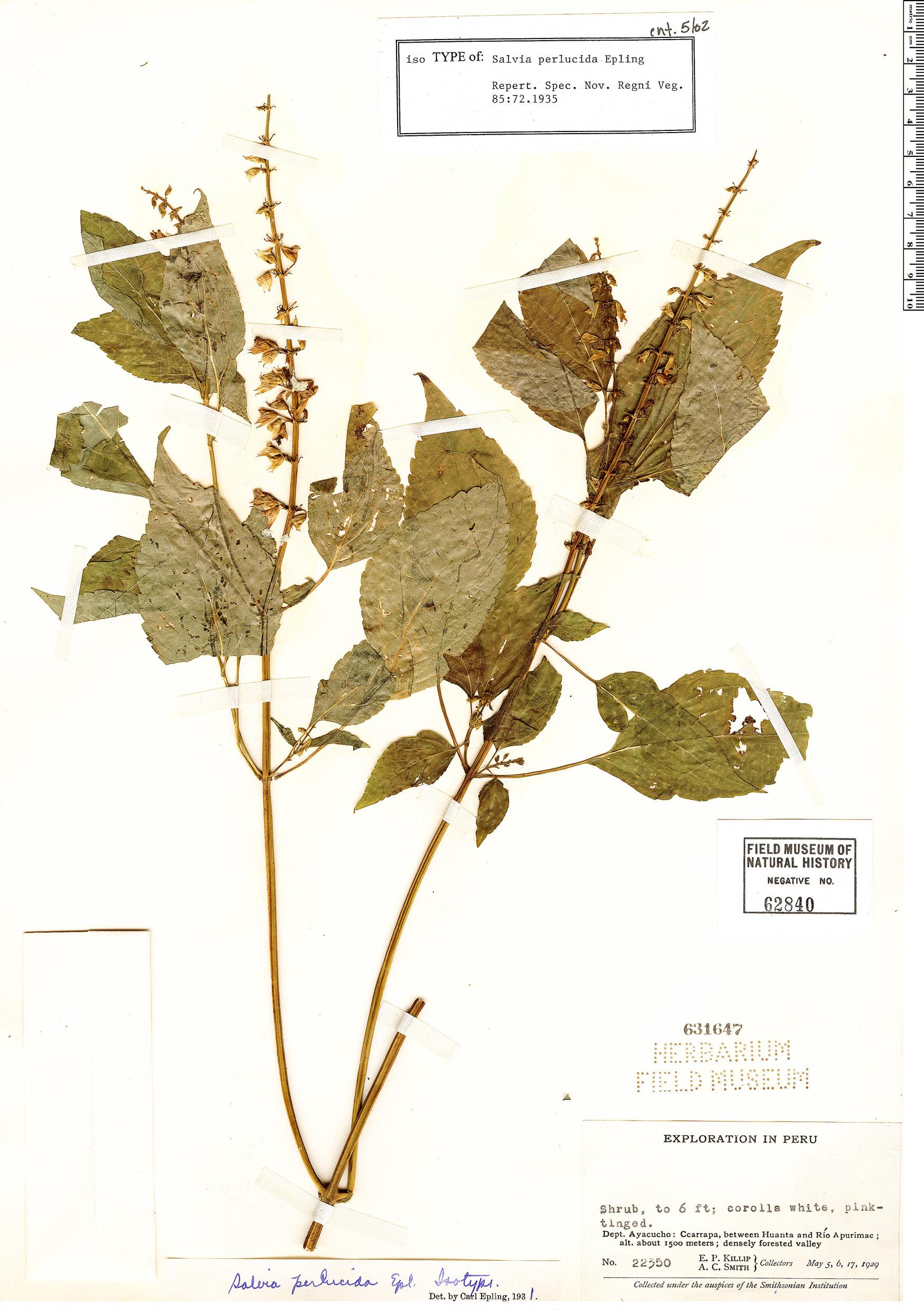 Specimen: Salvia perlucida