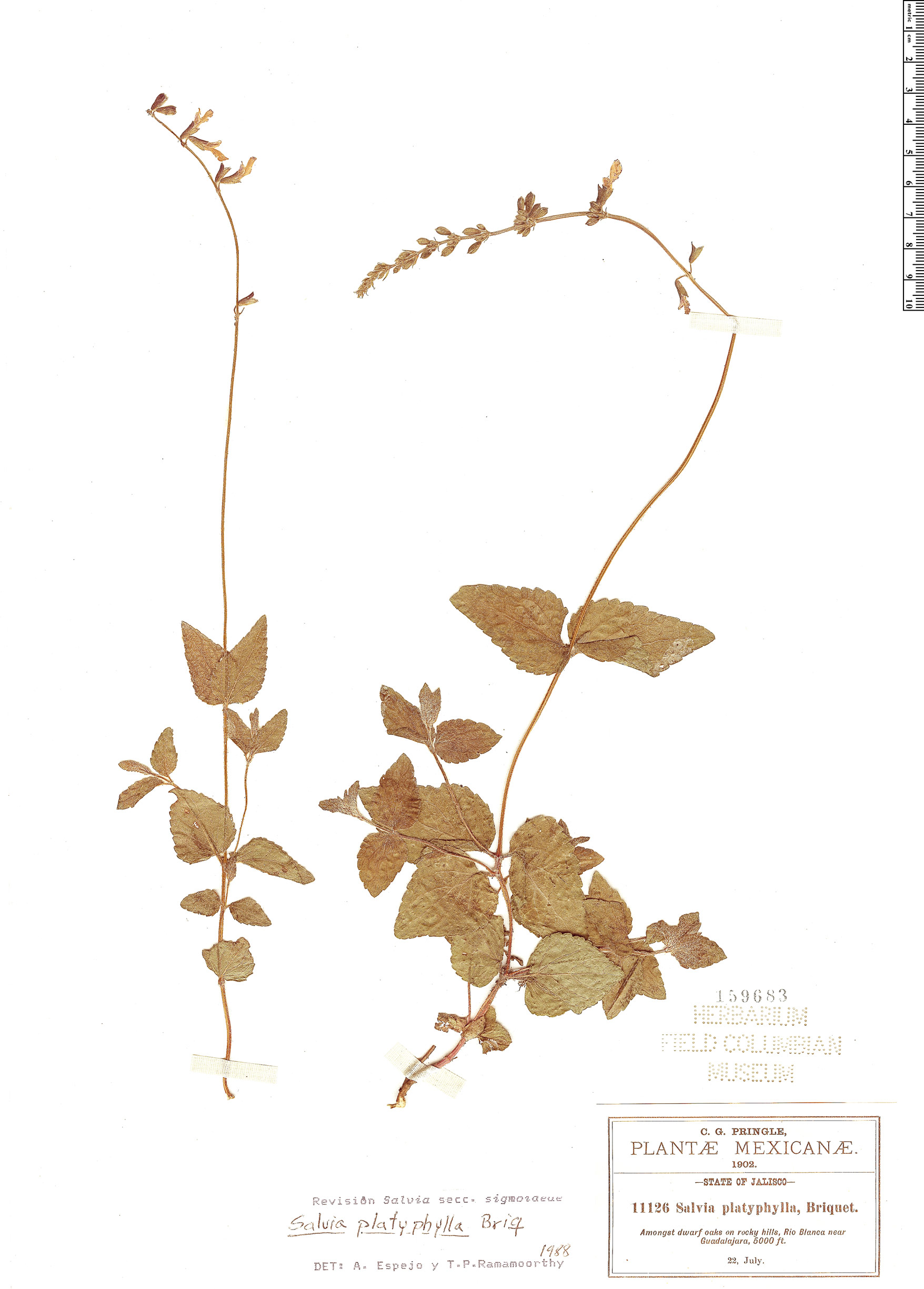 Espécime: Salvia platyphylla