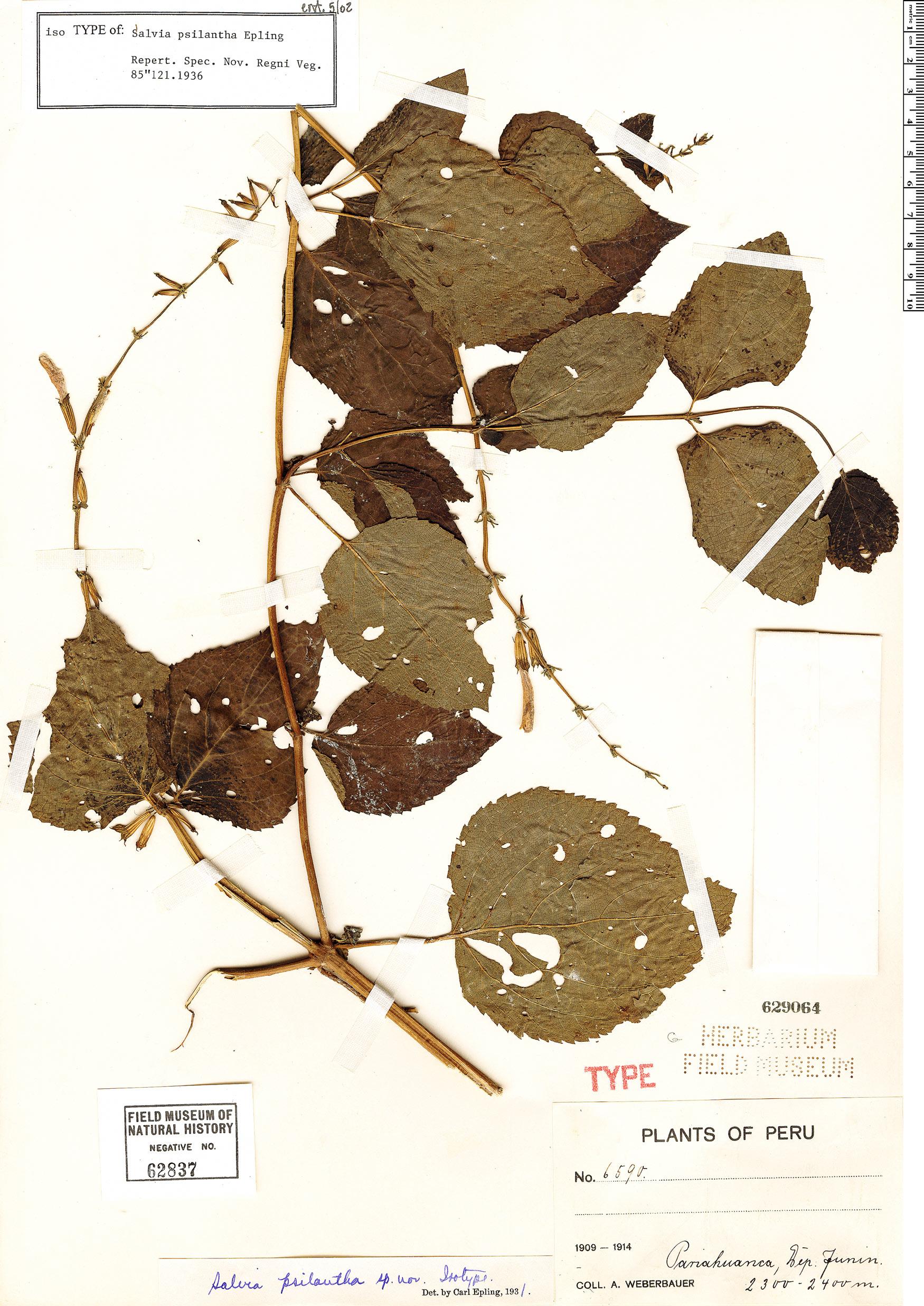 Specimen: Salvia psilantha