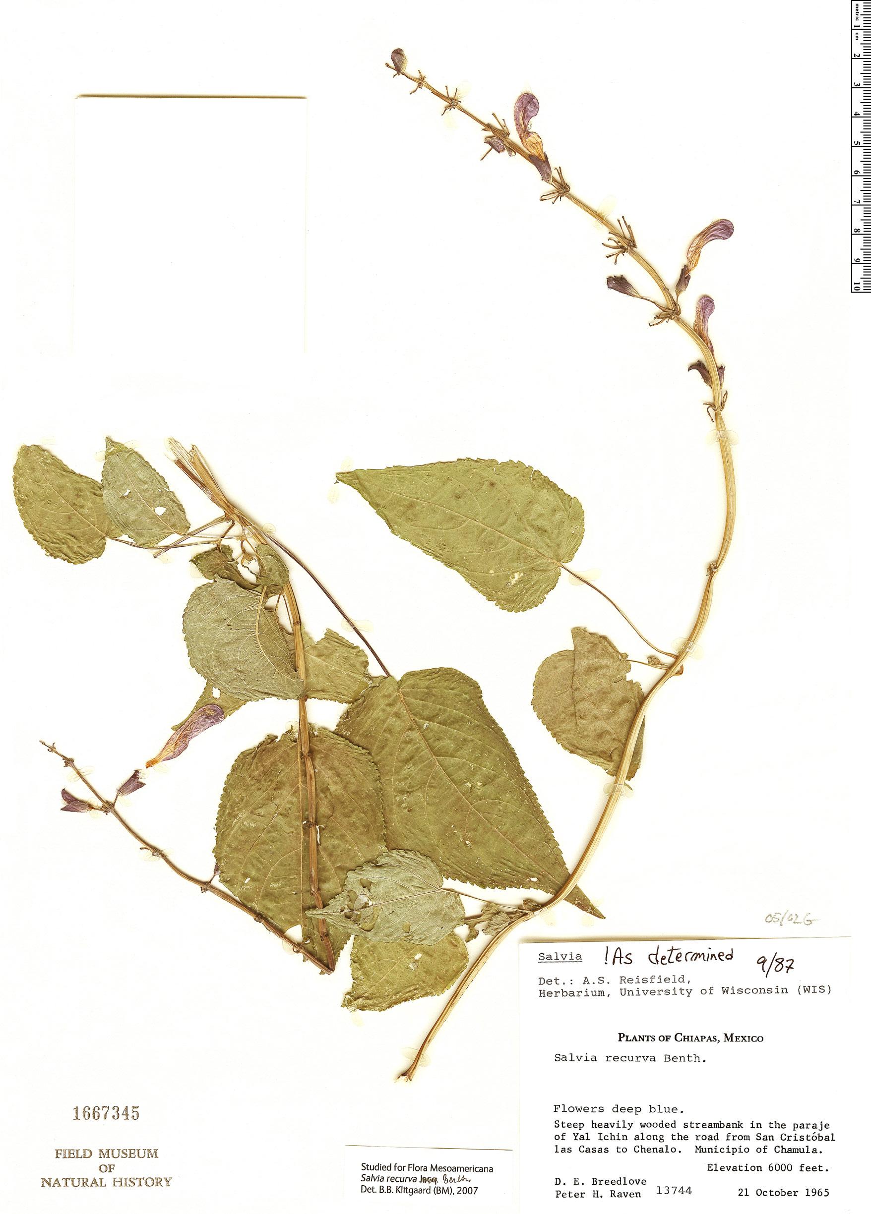 Specimen: Salvia recurva