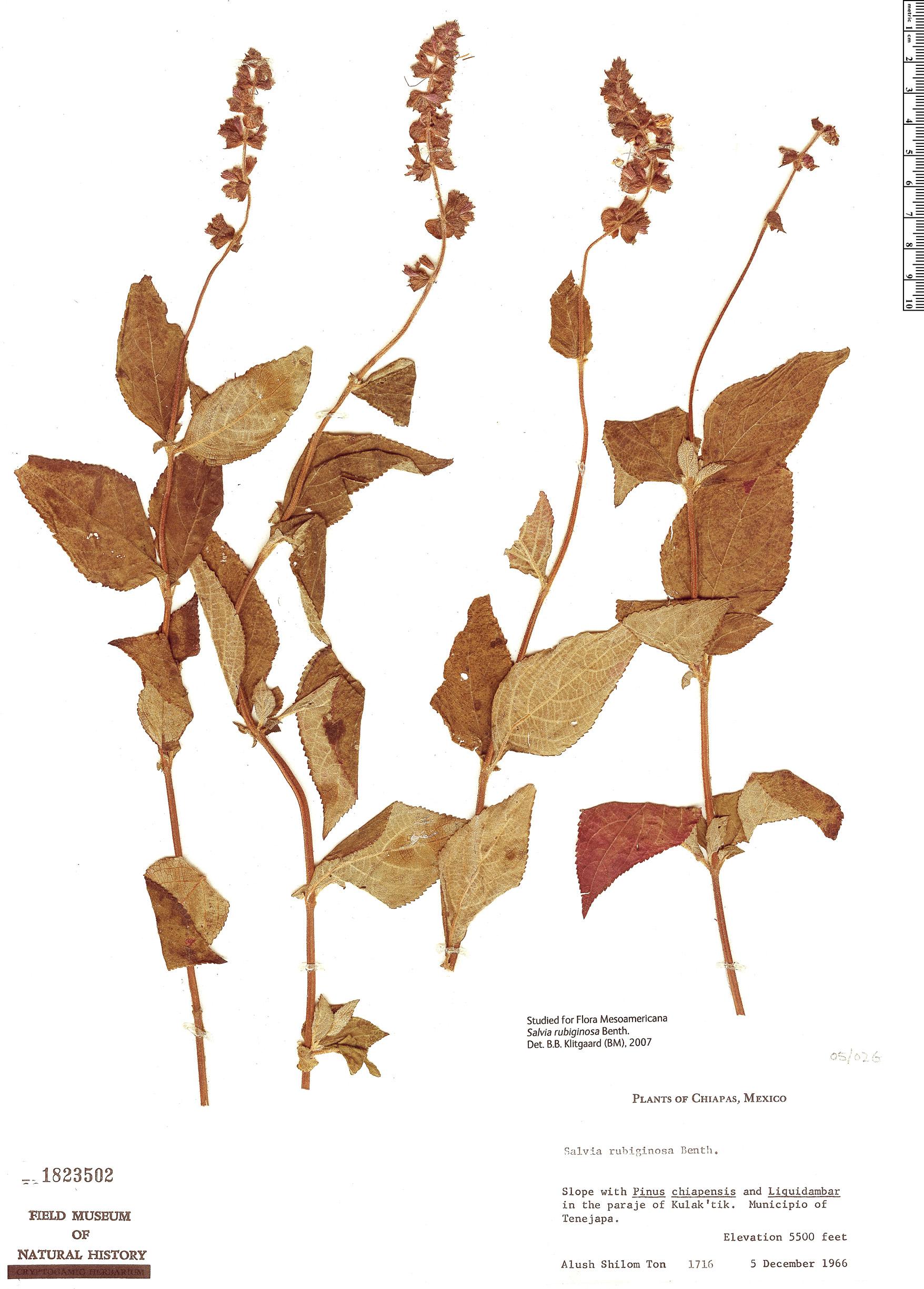 Specimen: Salvia rubiginosa