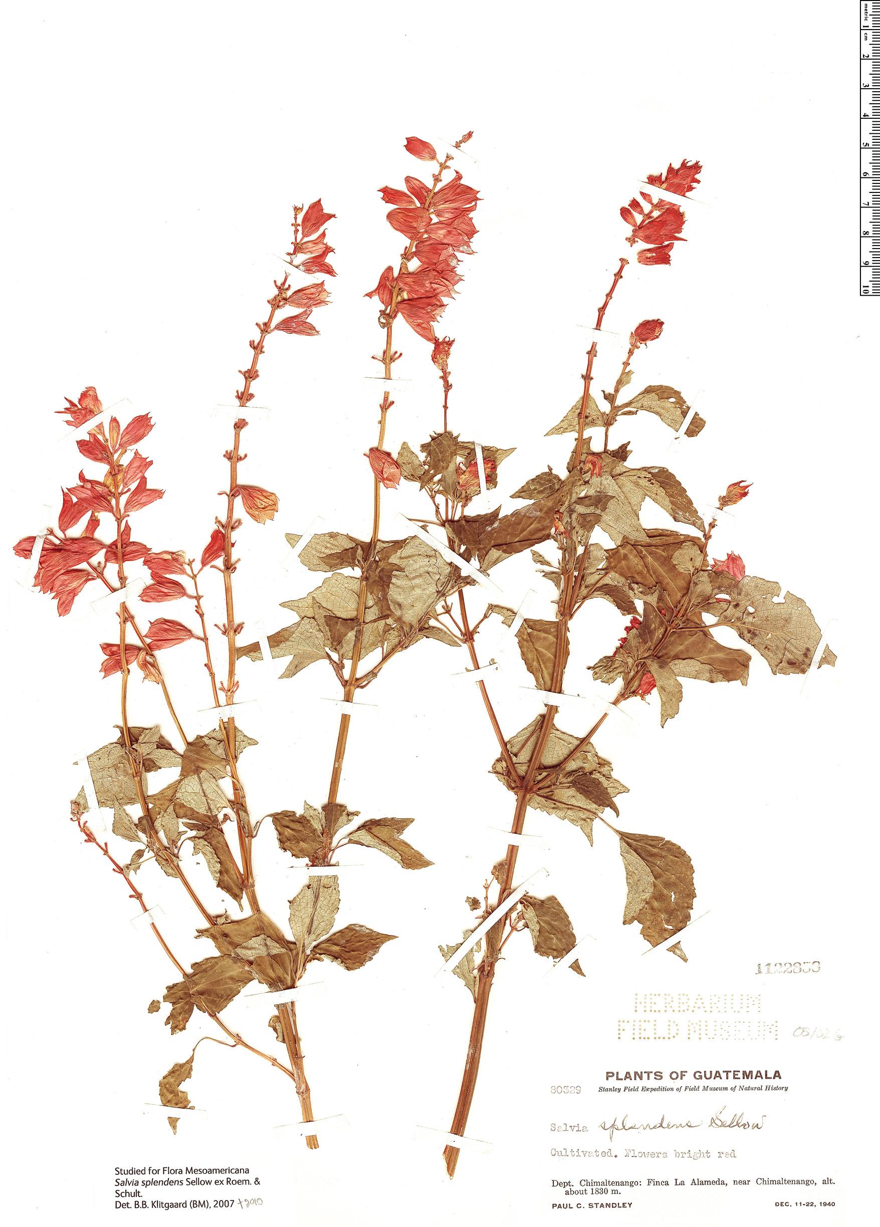 Specimen: Salvia splendens