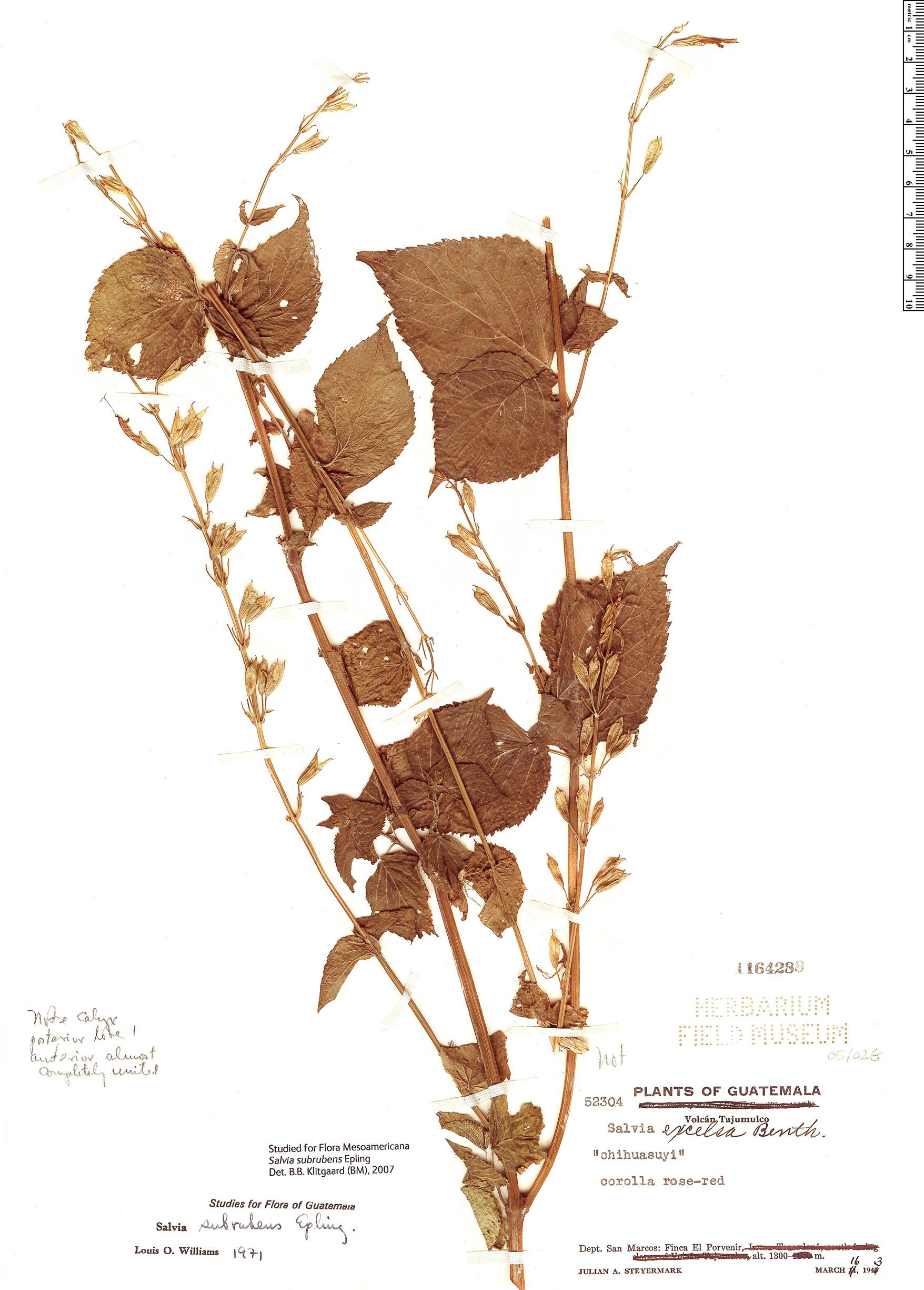 Specimen: Salvia subrubens