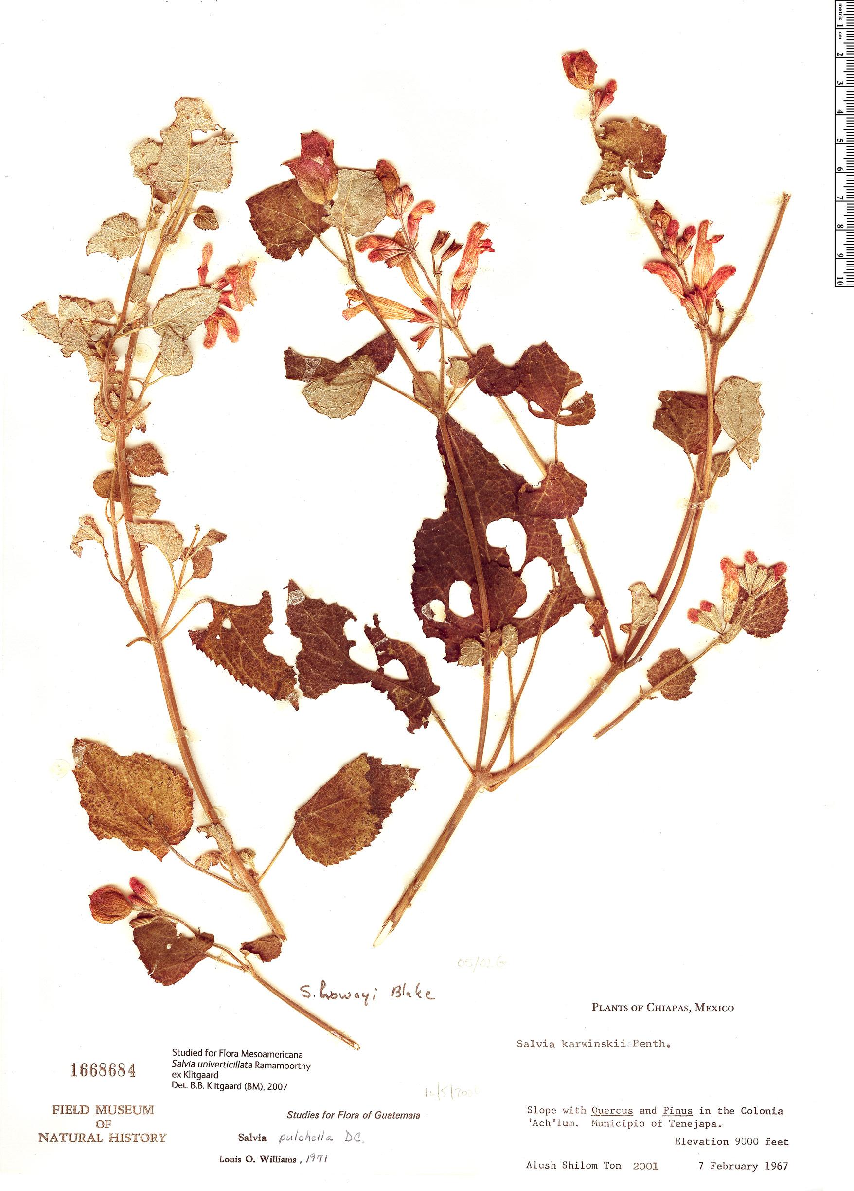 Specimen: Salvia univerticillata
