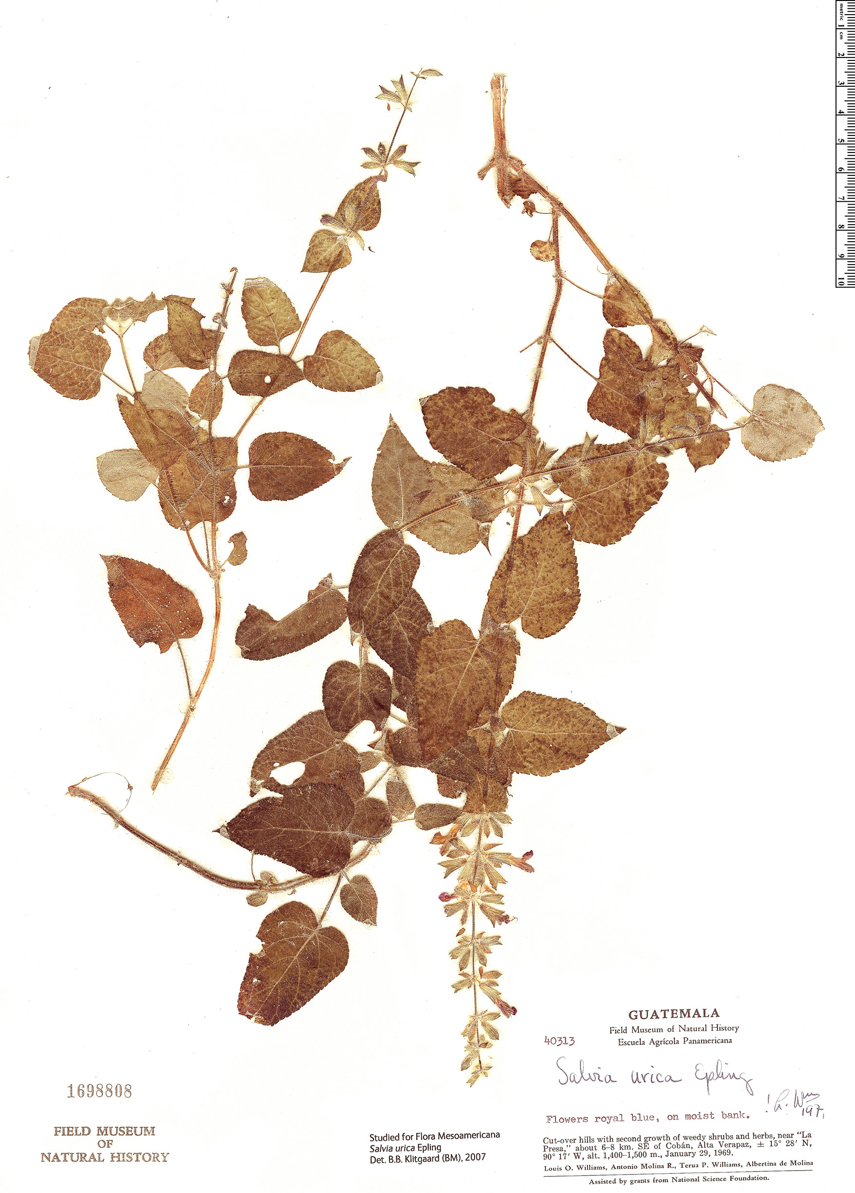 Specimen: Salvia urica