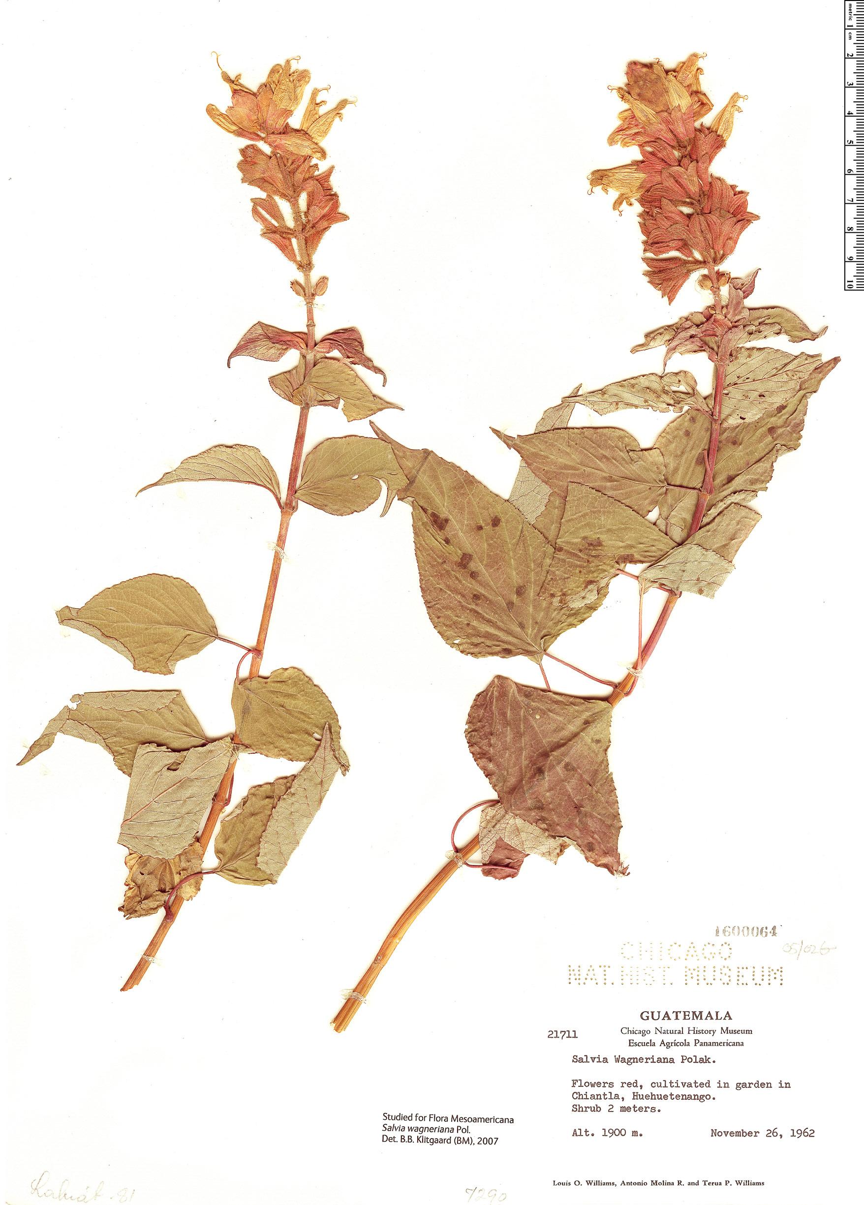 Espécimen: Salvia wagneriana