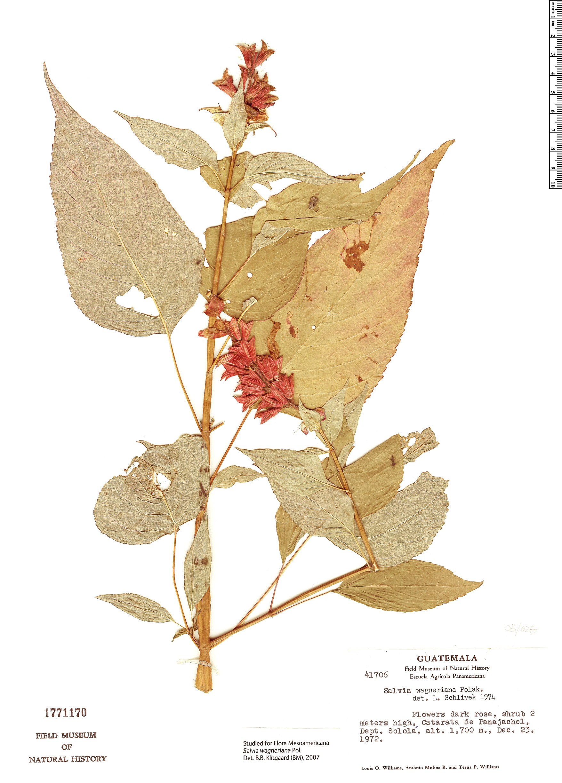 Specimen: Salvia wagneriana