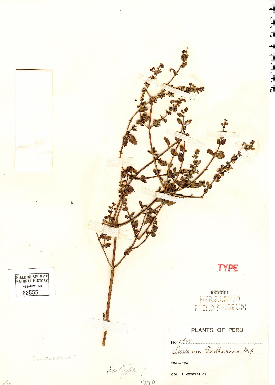 Specimen: Scutellaria benthamiana
