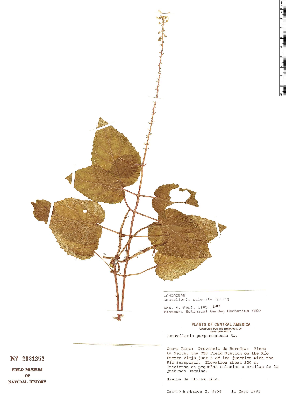 Specimen: Scutellaria galerita