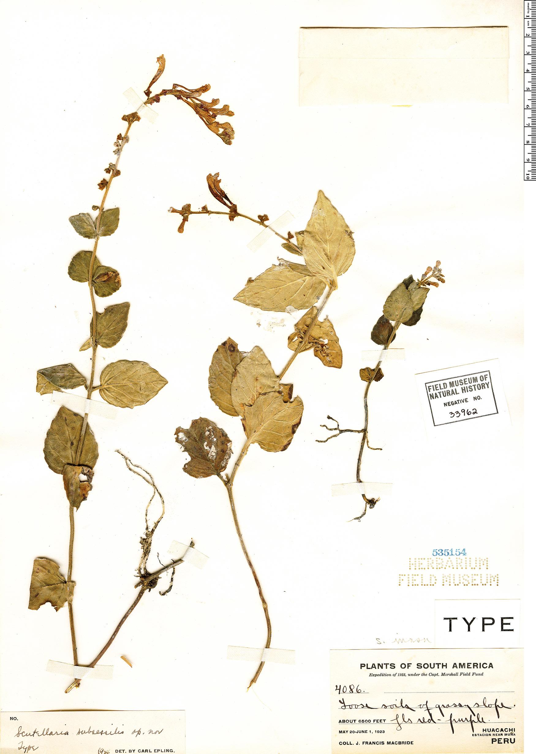 Specimen: Scutellaria irrasa