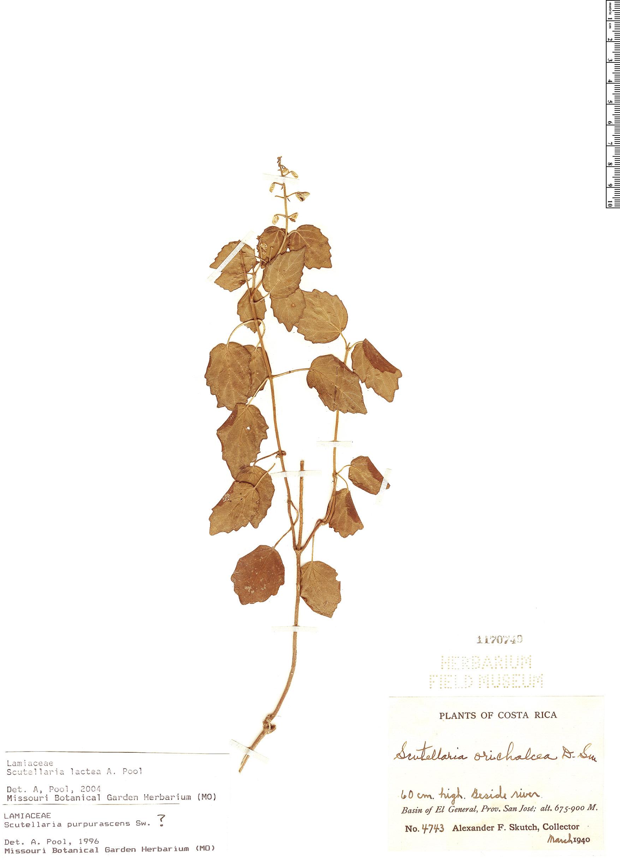 Specimen: Scutellaria lactea