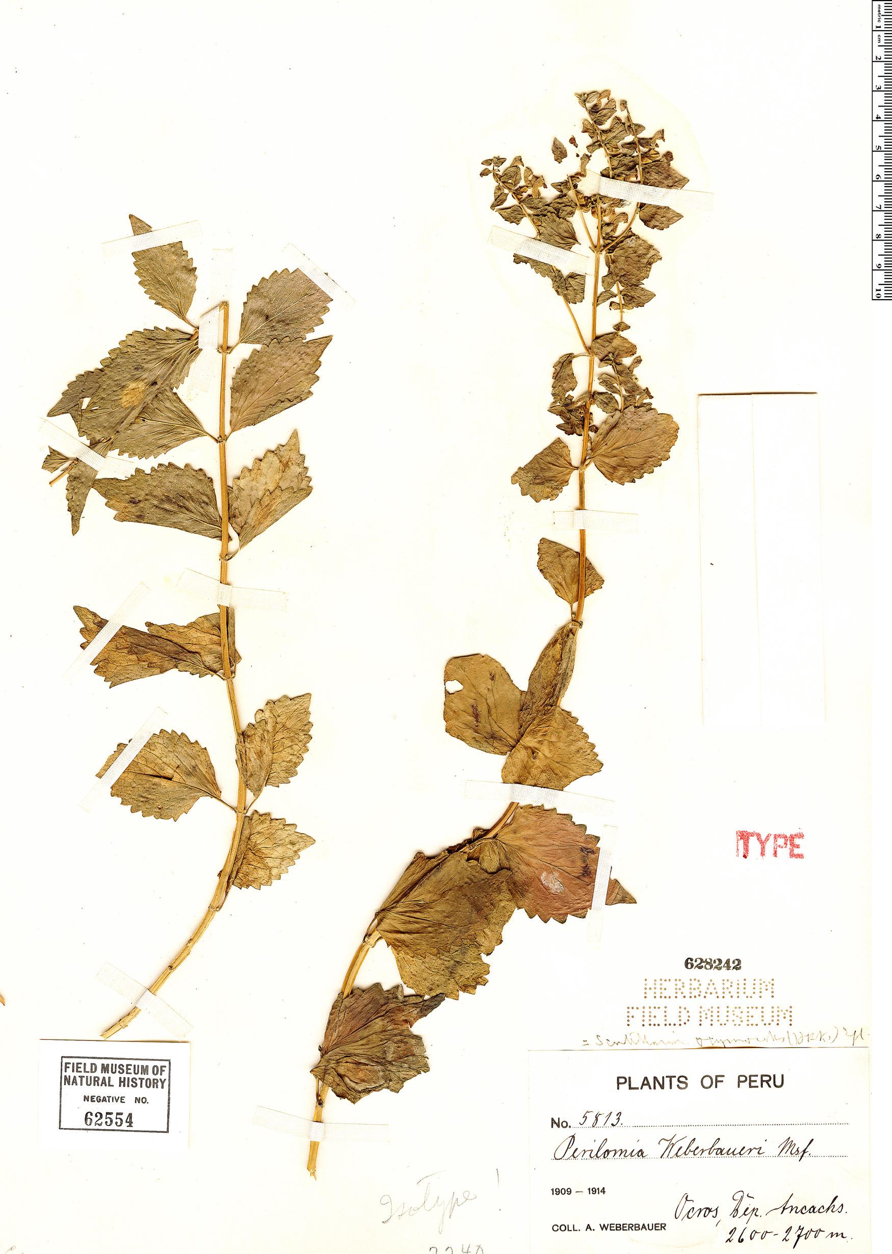 Specimen: Scutellaria ocymoides