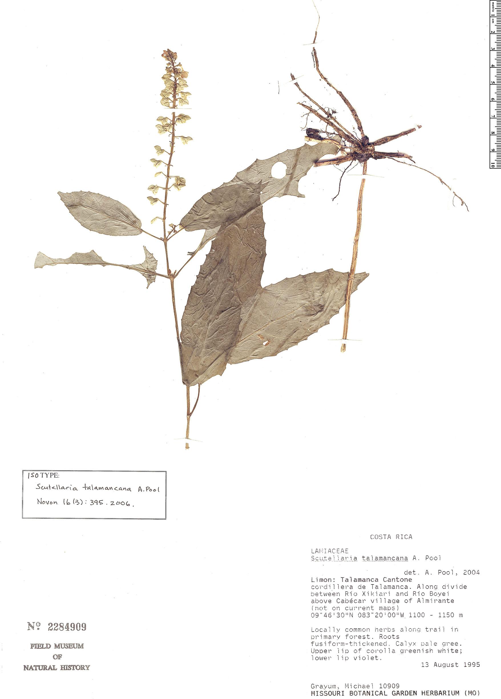 Specimen: Scutellaria talamancana