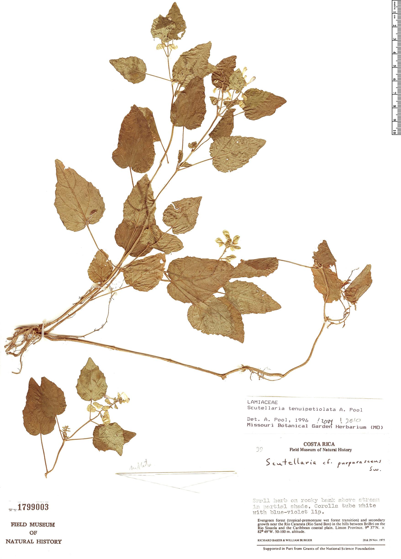 Specimen: Scutellaria tenuipetiolata