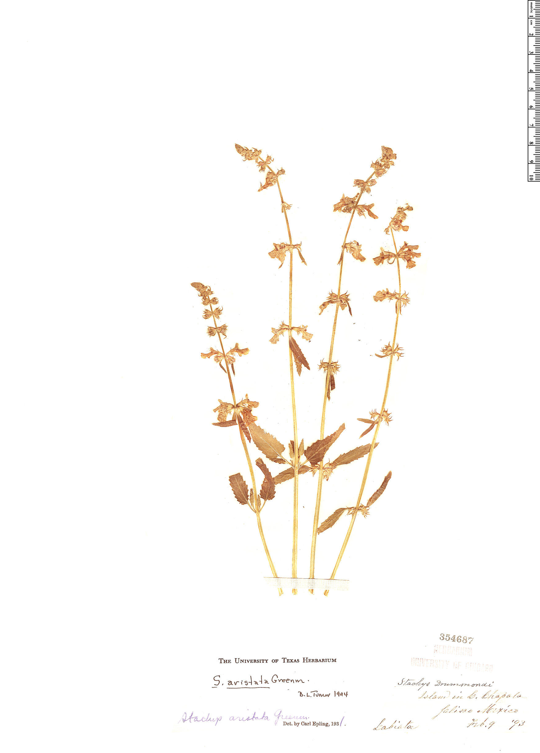 Specimen: Stachys aristata