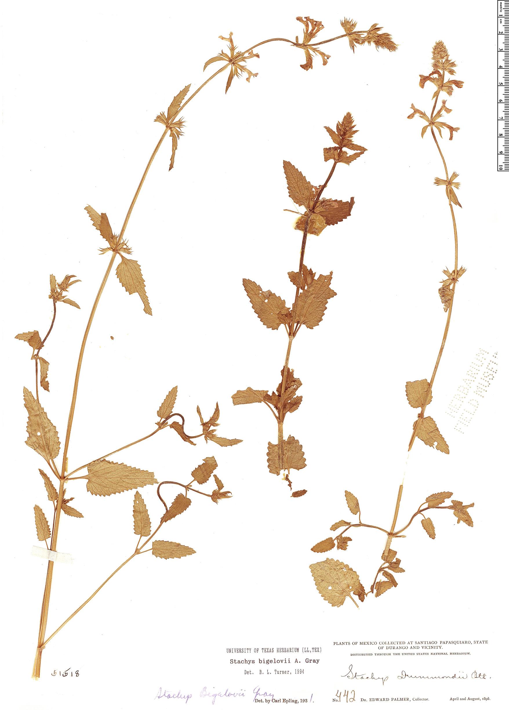 Specimen: Stachys bigelovii