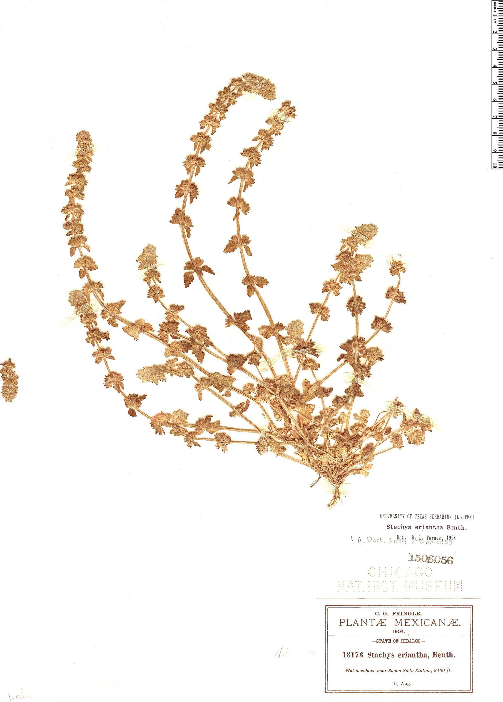 Specimen: Stachys eriantha