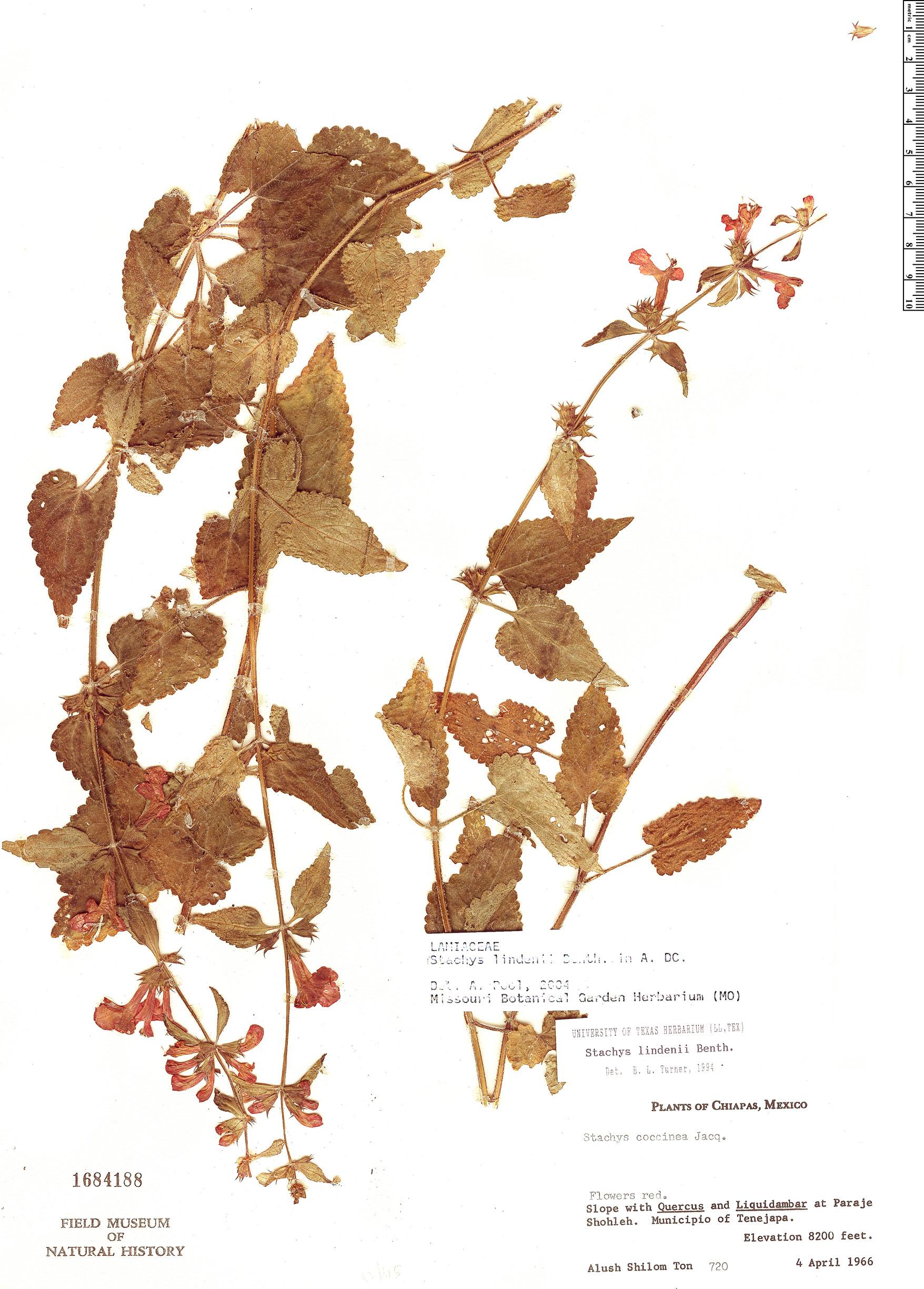 Espécimen: Stachys lindenii