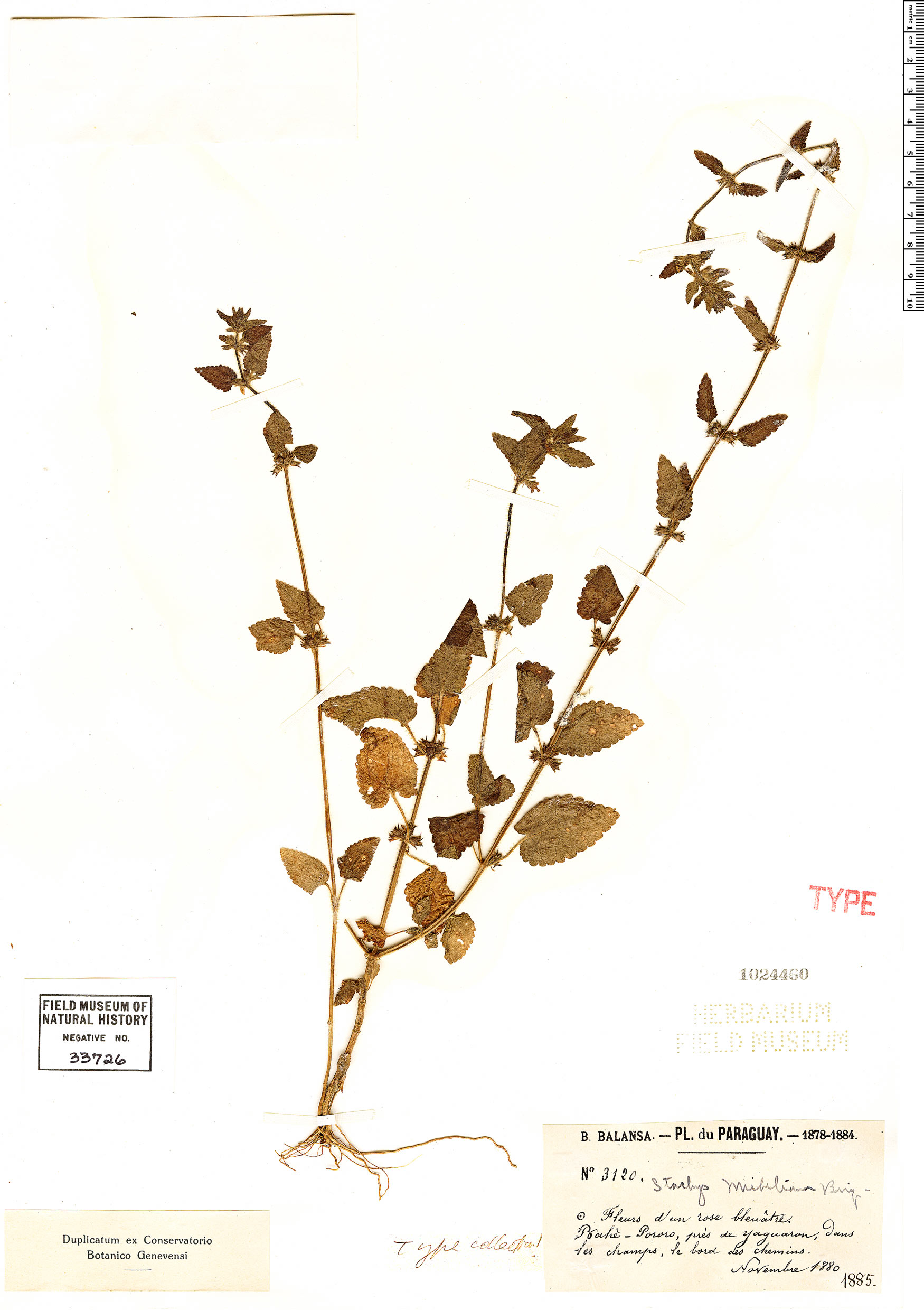 Specimen: Stachys micheliana