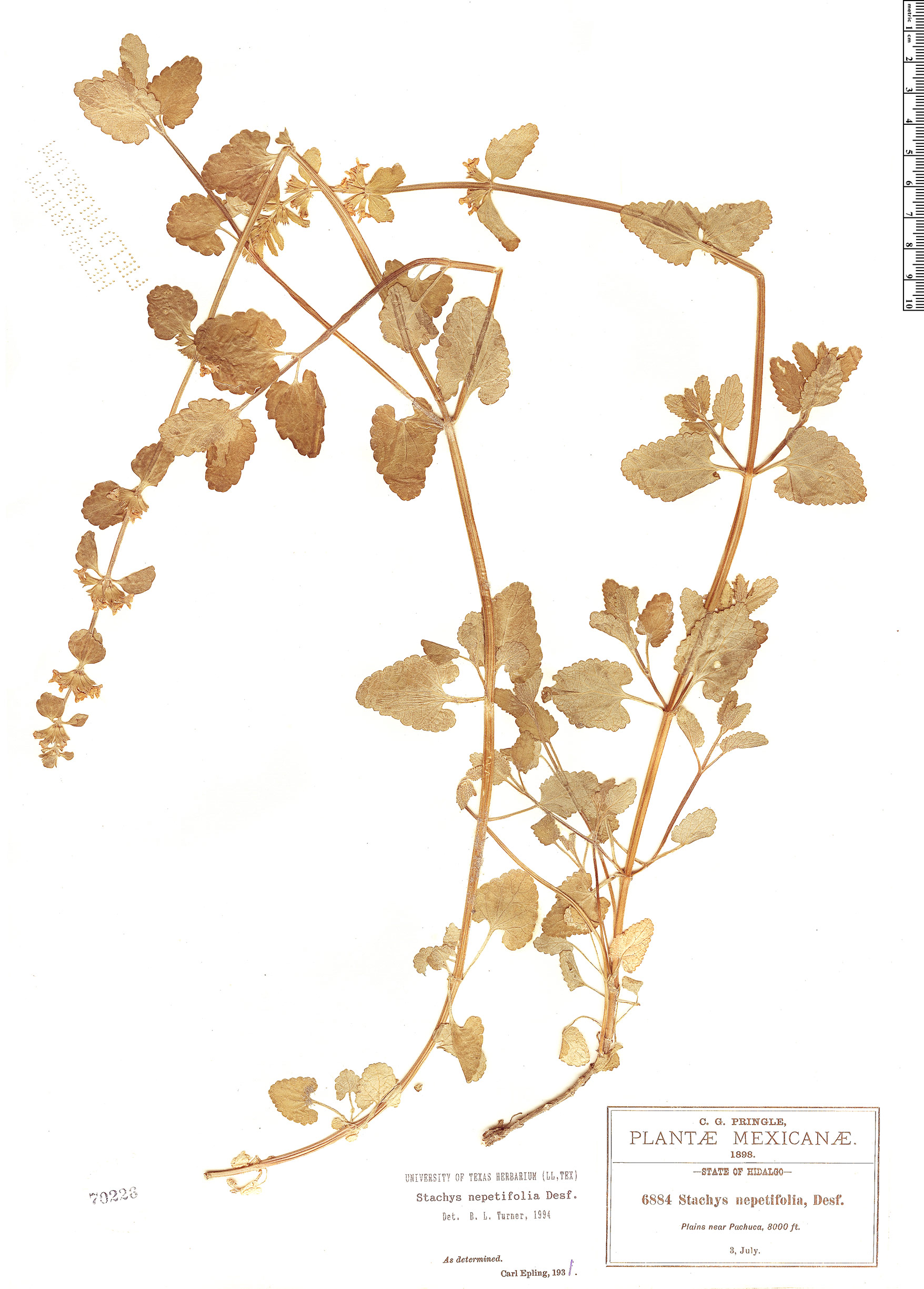 Specimen: Stachys nepetifolia