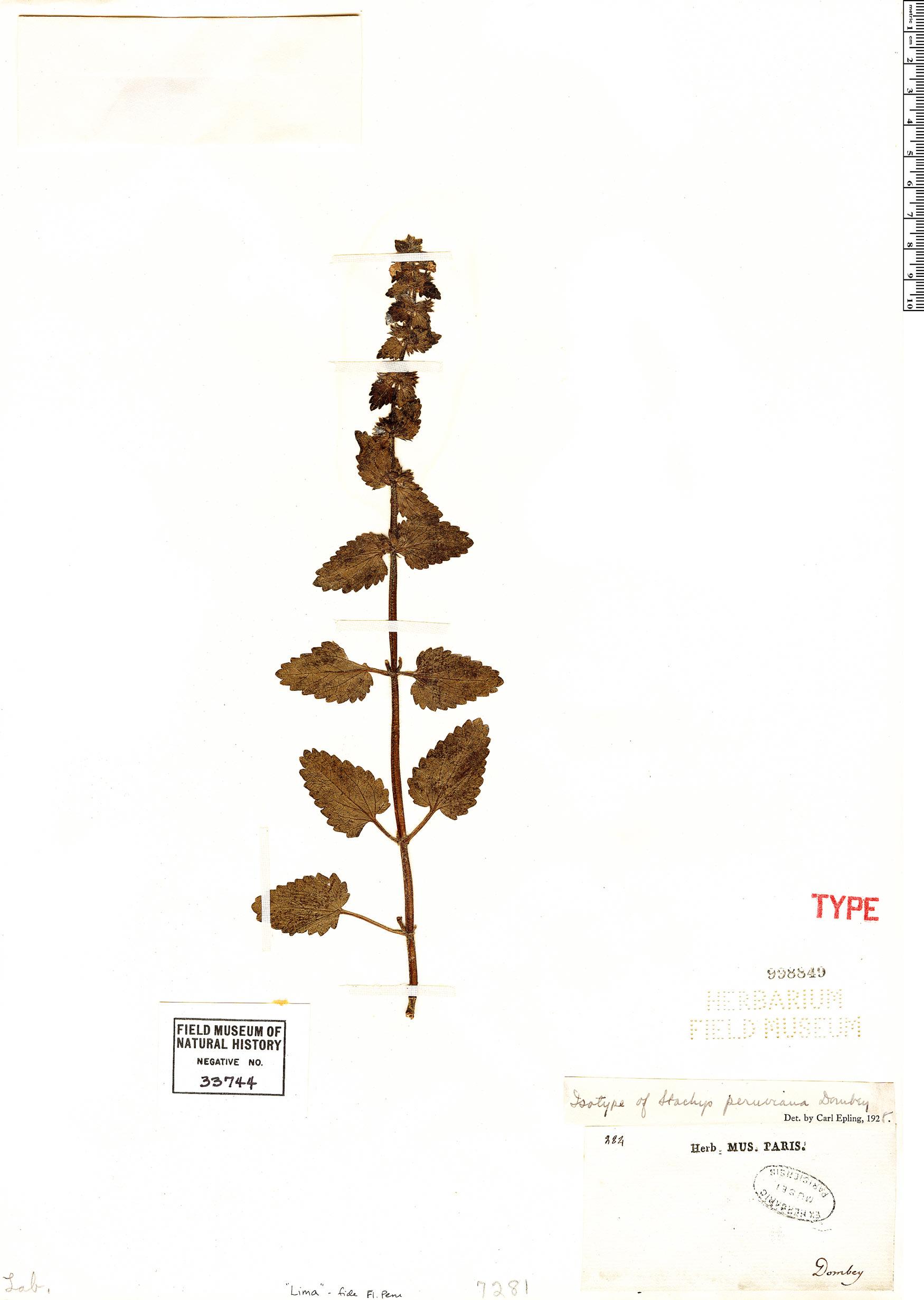 Specimen: Stachys peruviana