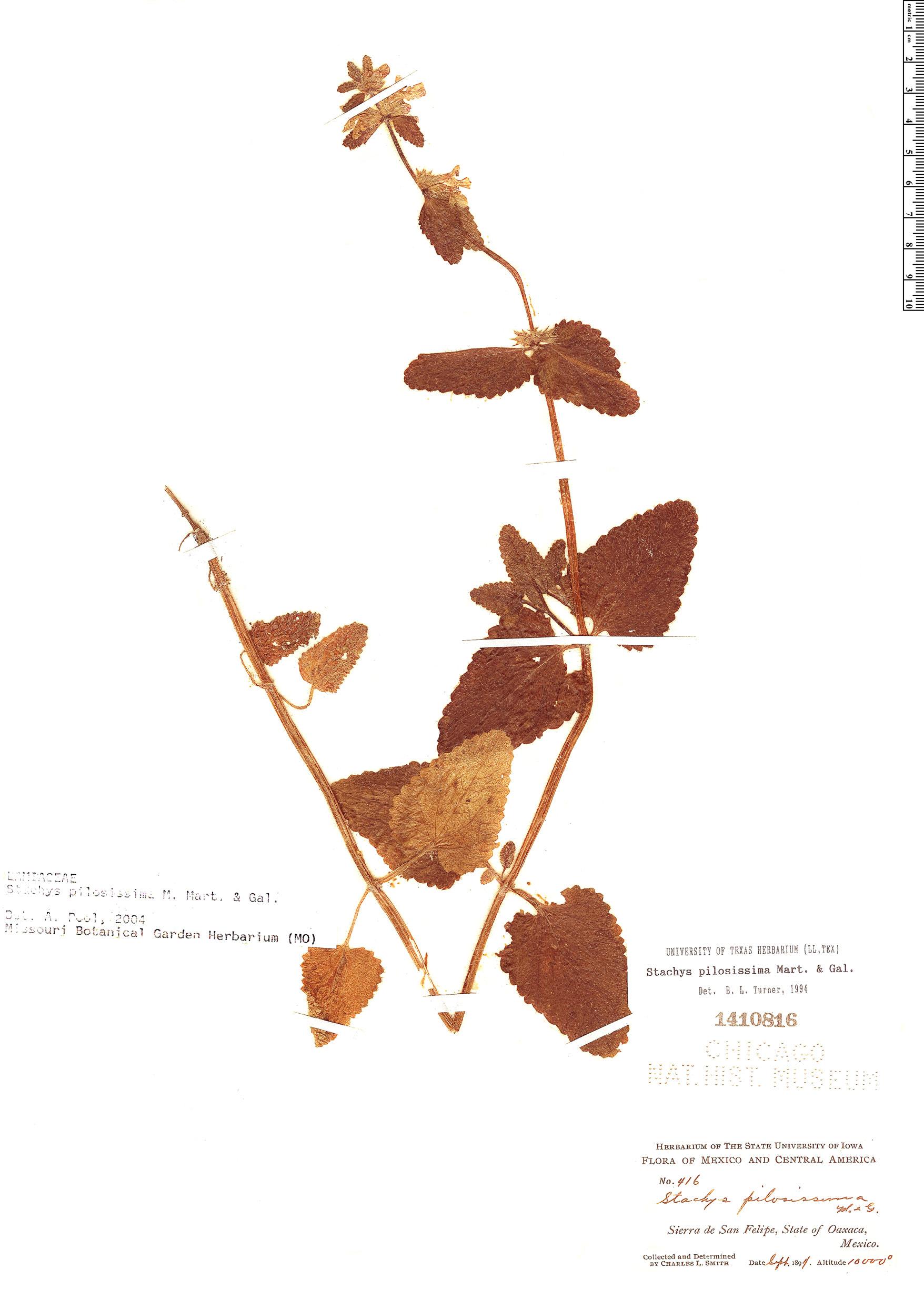 Specimen: Stachys pilosissima