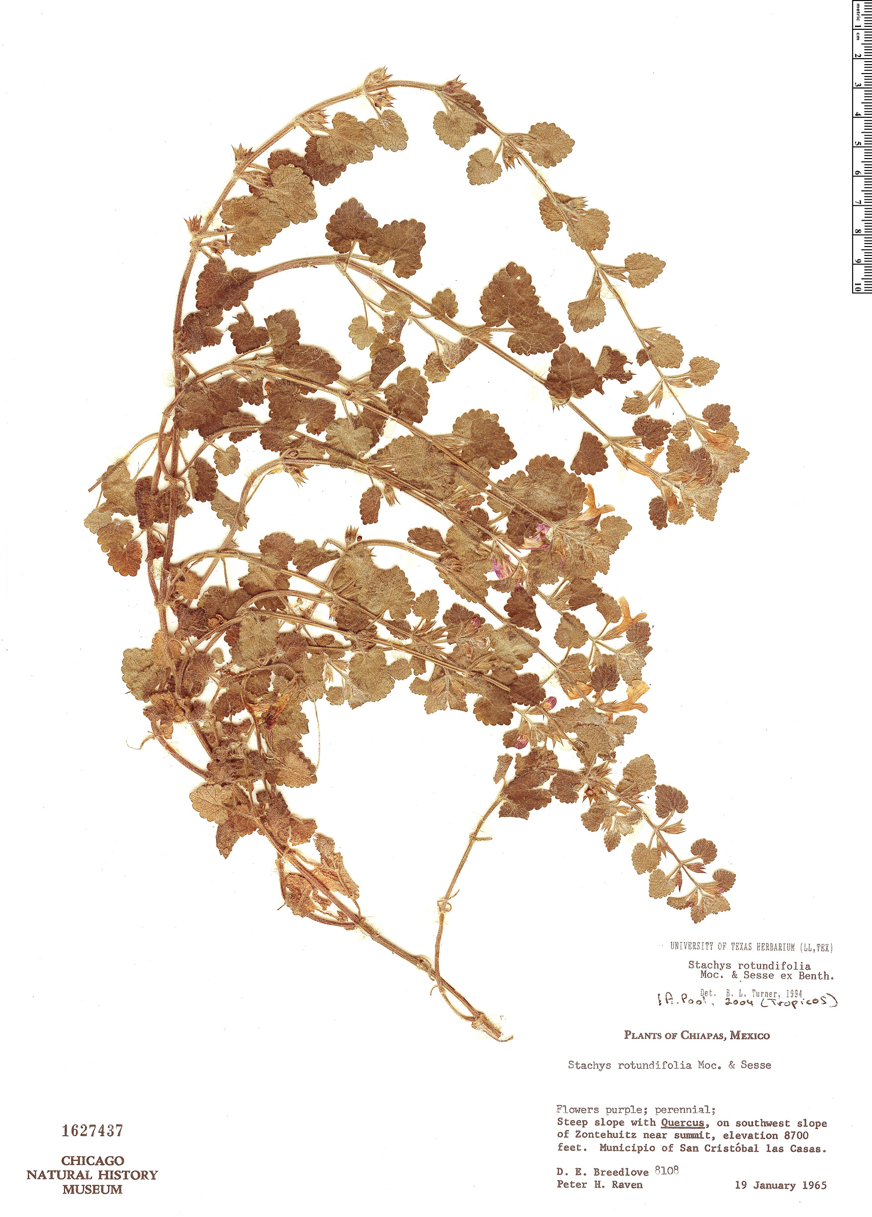 Specimen: Stachys rotundifolia