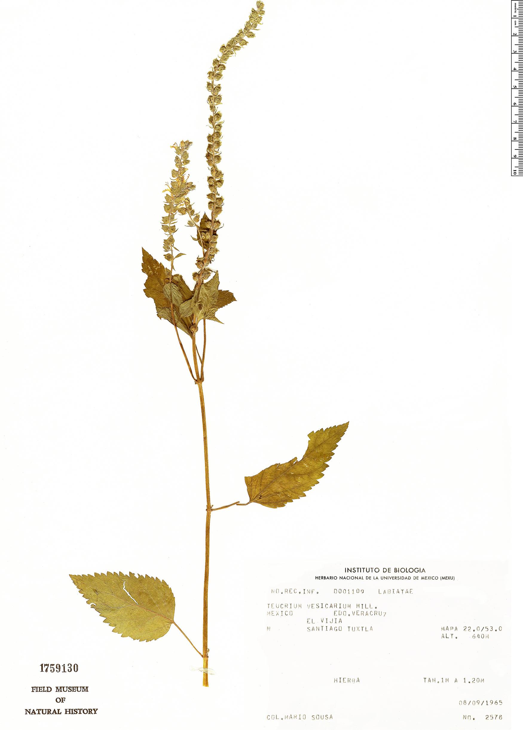 Teucrium vesicarium image
