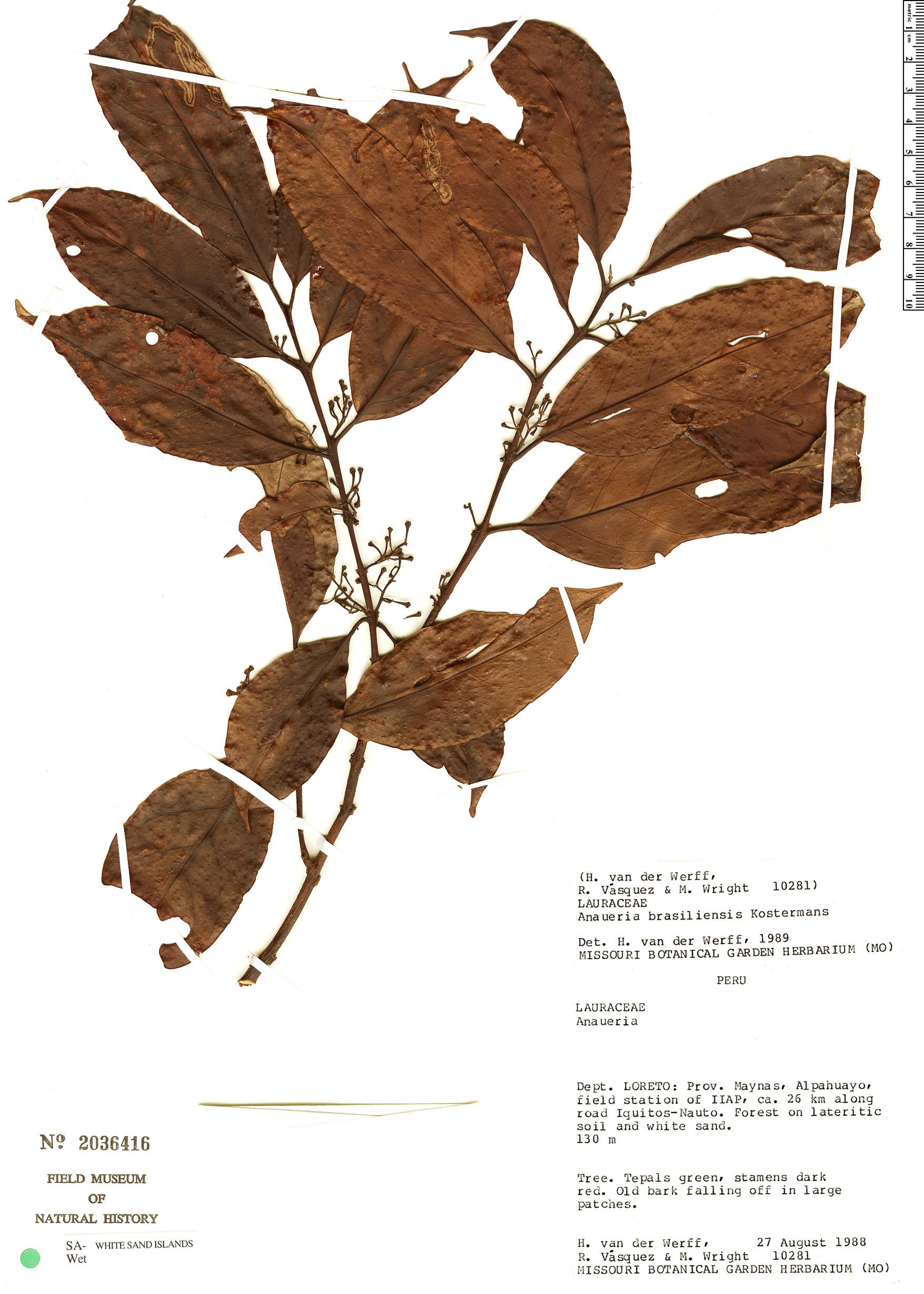 Specimen: Anaueria brasiliensis