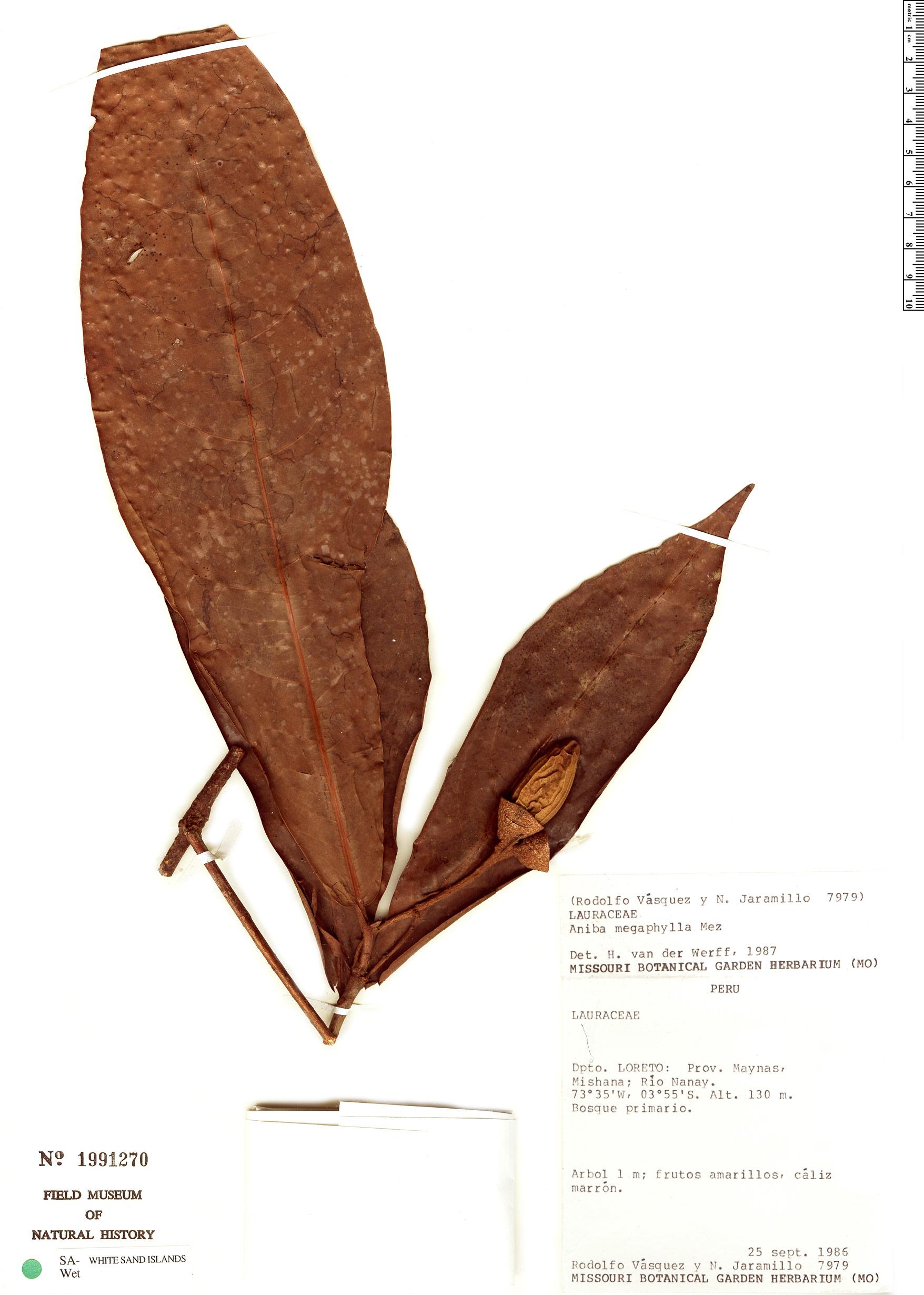 Espécime: Aniba megaphylla
