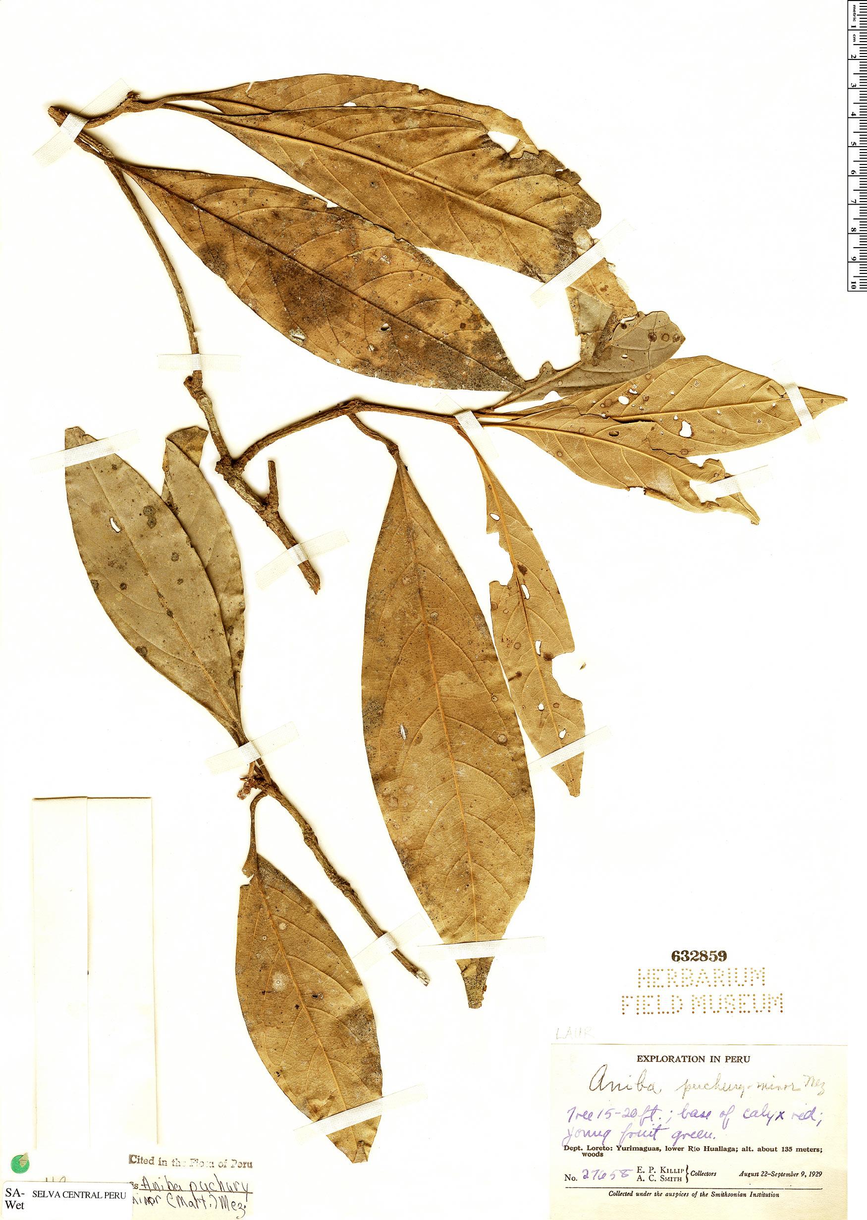 Specimen: Aniba puchury-minor