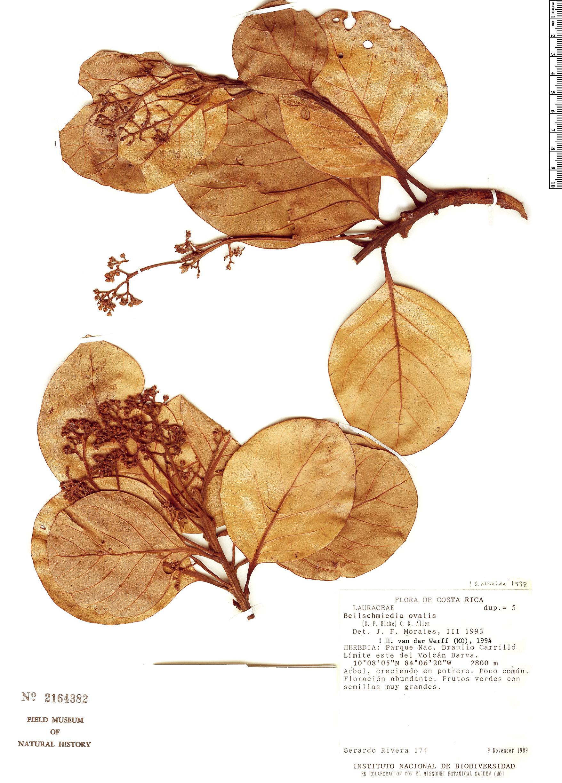 Specimen: Beilschmiedia ovalis