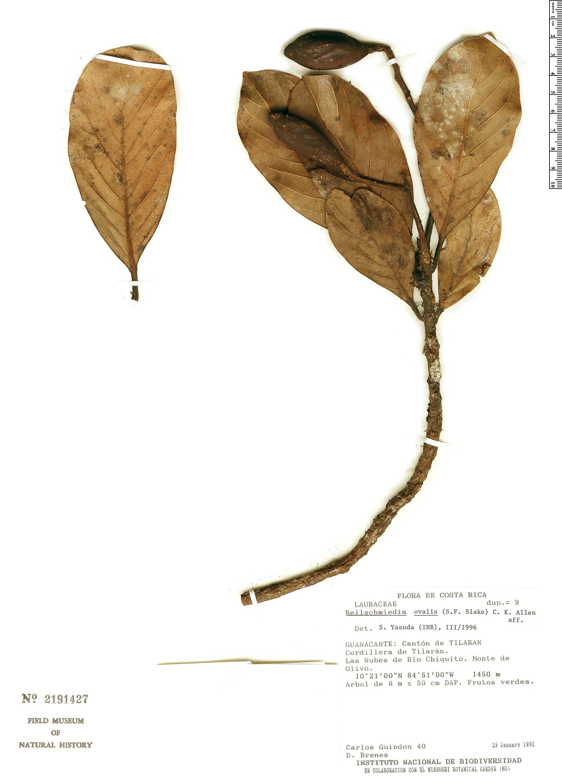 Specimen: Beilschmiedia tilaranensis