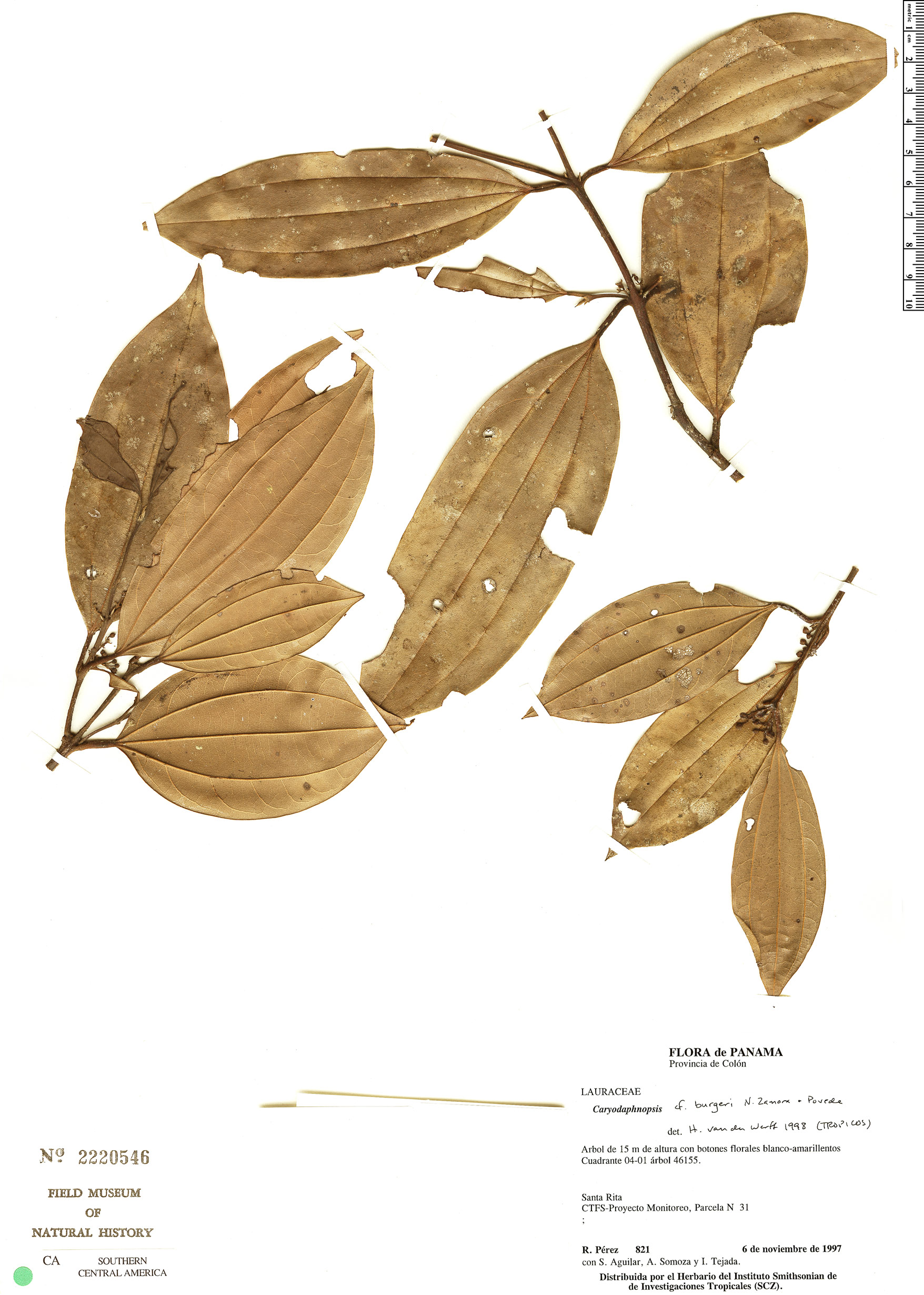 Specimen: Caryodaphnopsis burgeri
