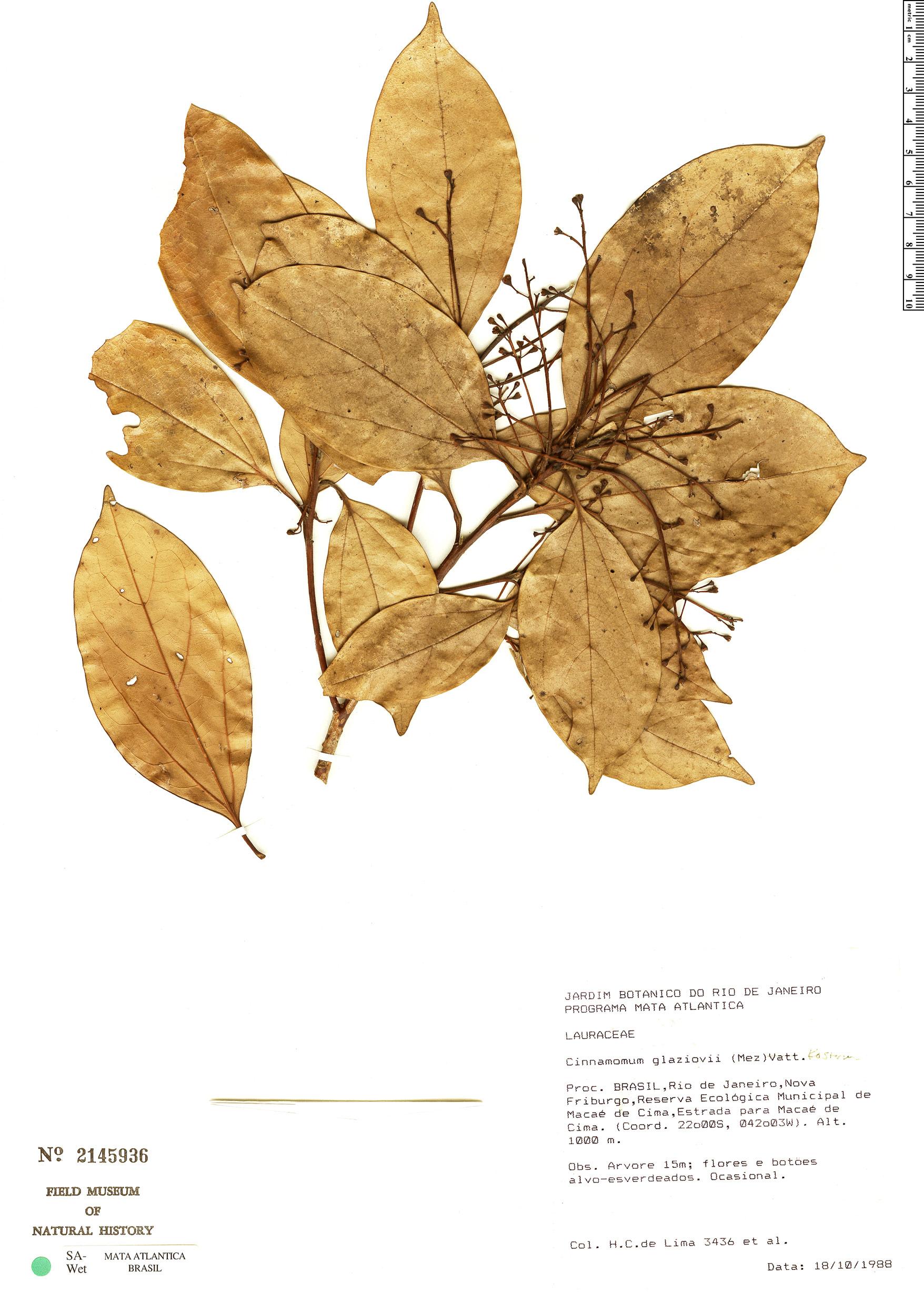 Espécime: Cinnamomum glaziovii