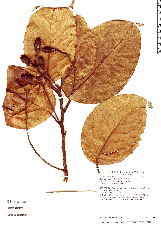Specimen: Cinnamomum hammelianum