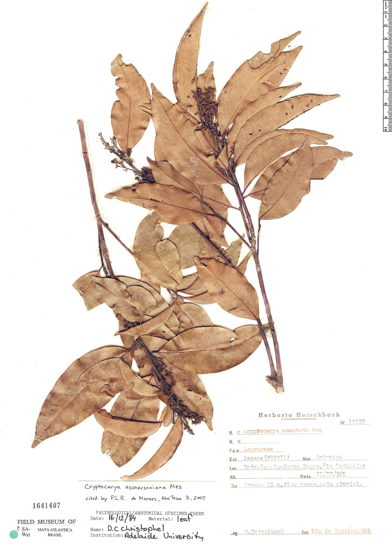 Espécimen: Cryptocarya aschersoniana