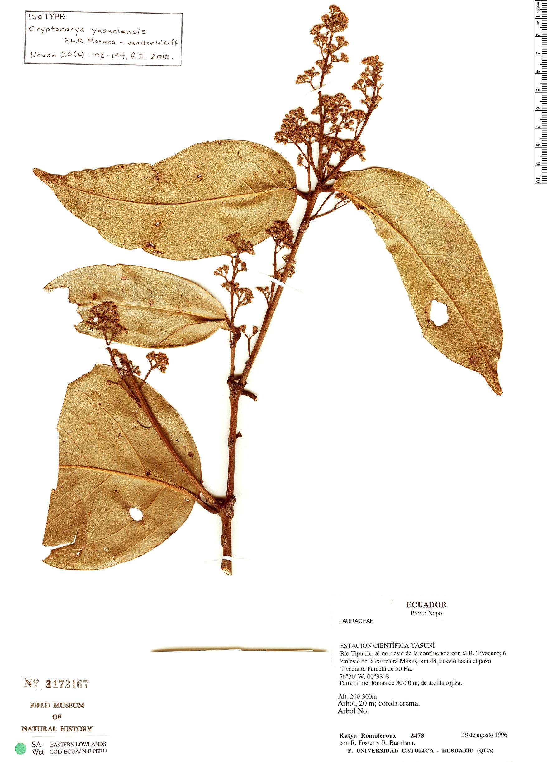 Espécime: Cryptocarya yasuniensis