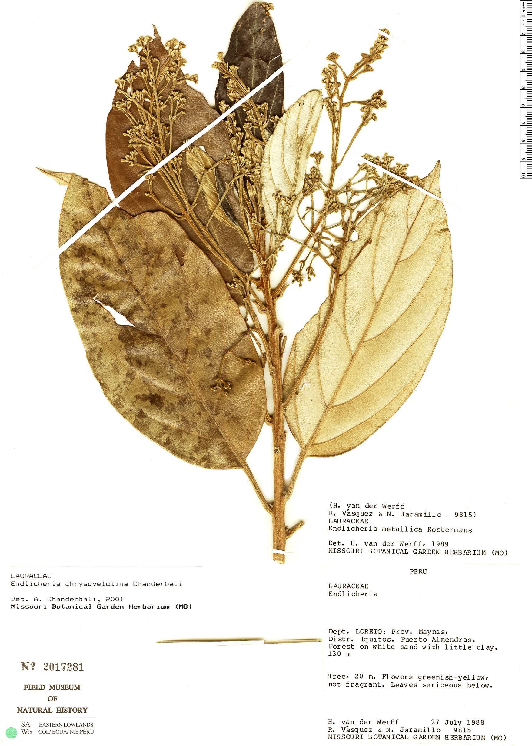 Specimen: Endlicheria chrysovelutina