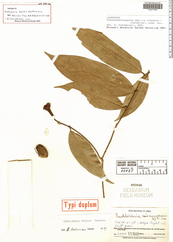 Specimen: Endlicheria debilis