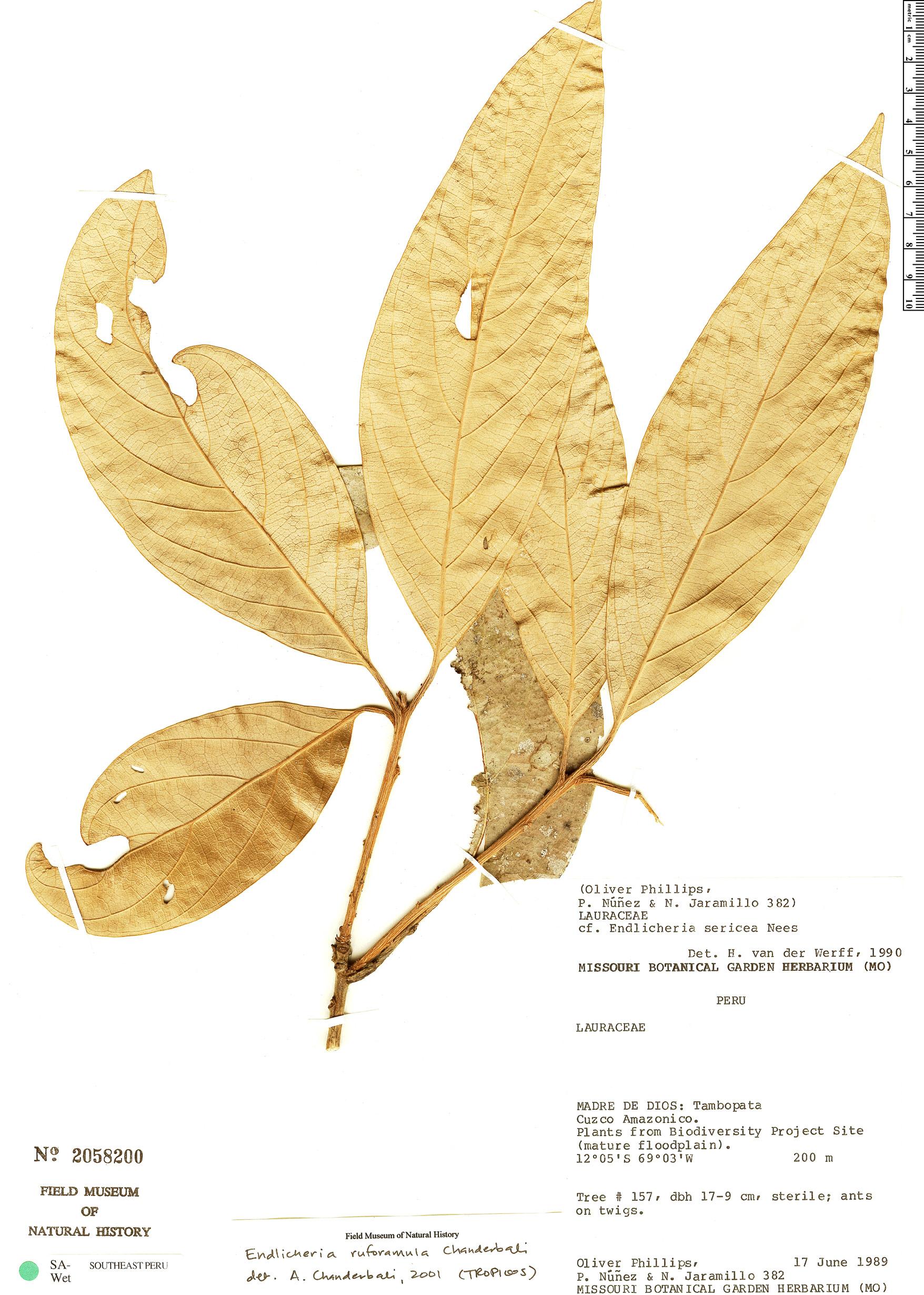 Specimen: Endlicheria ruforamula