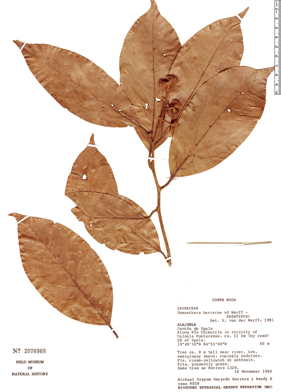 Specimen: Gamanthera herrerae