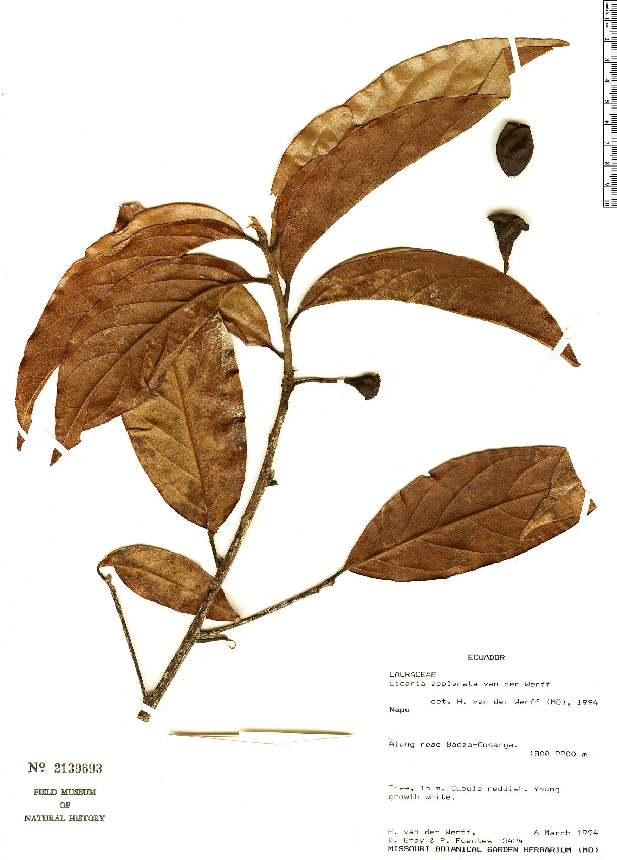 Specimen: Licaria applanata