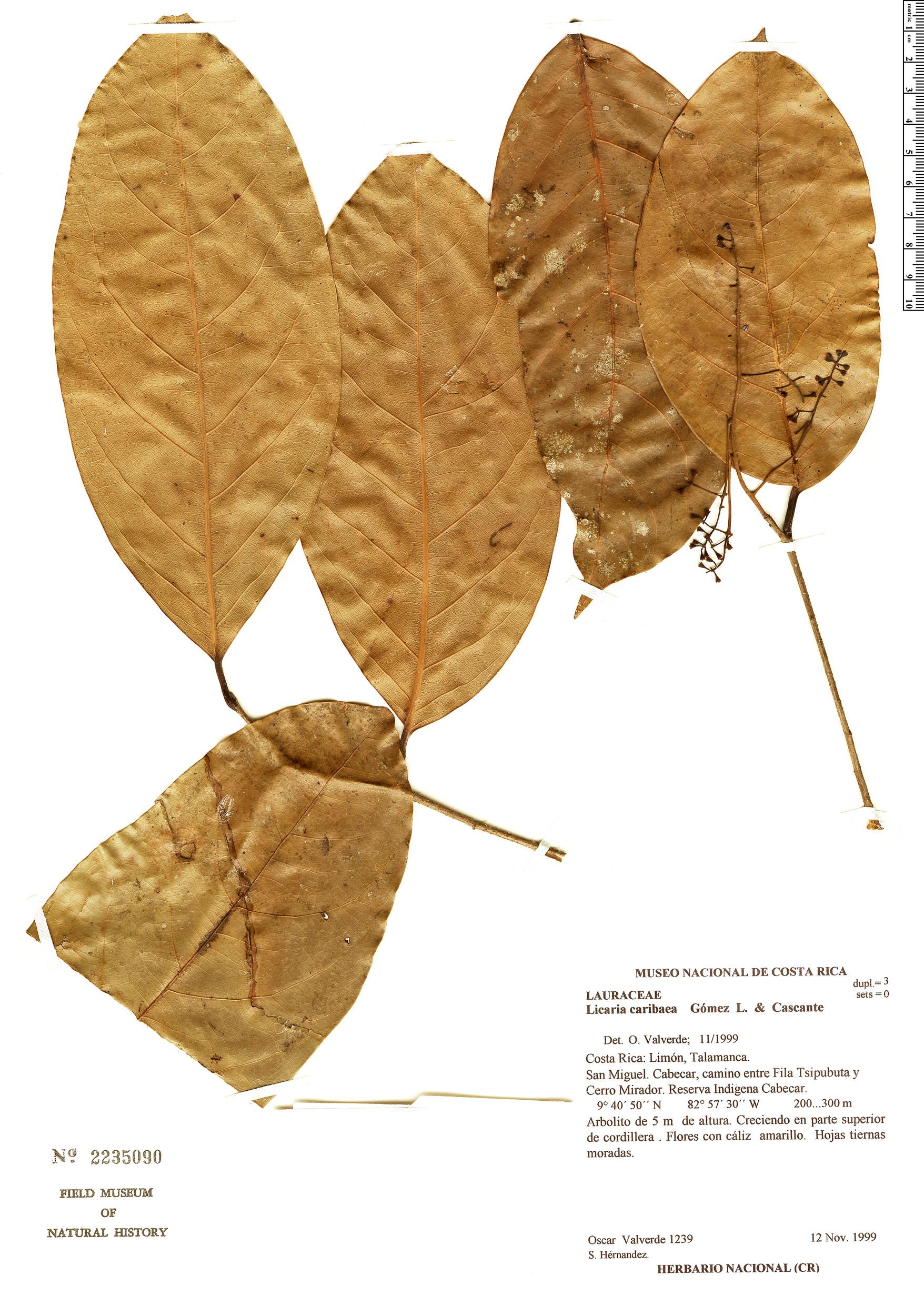 Specimen: Licaria caribaea